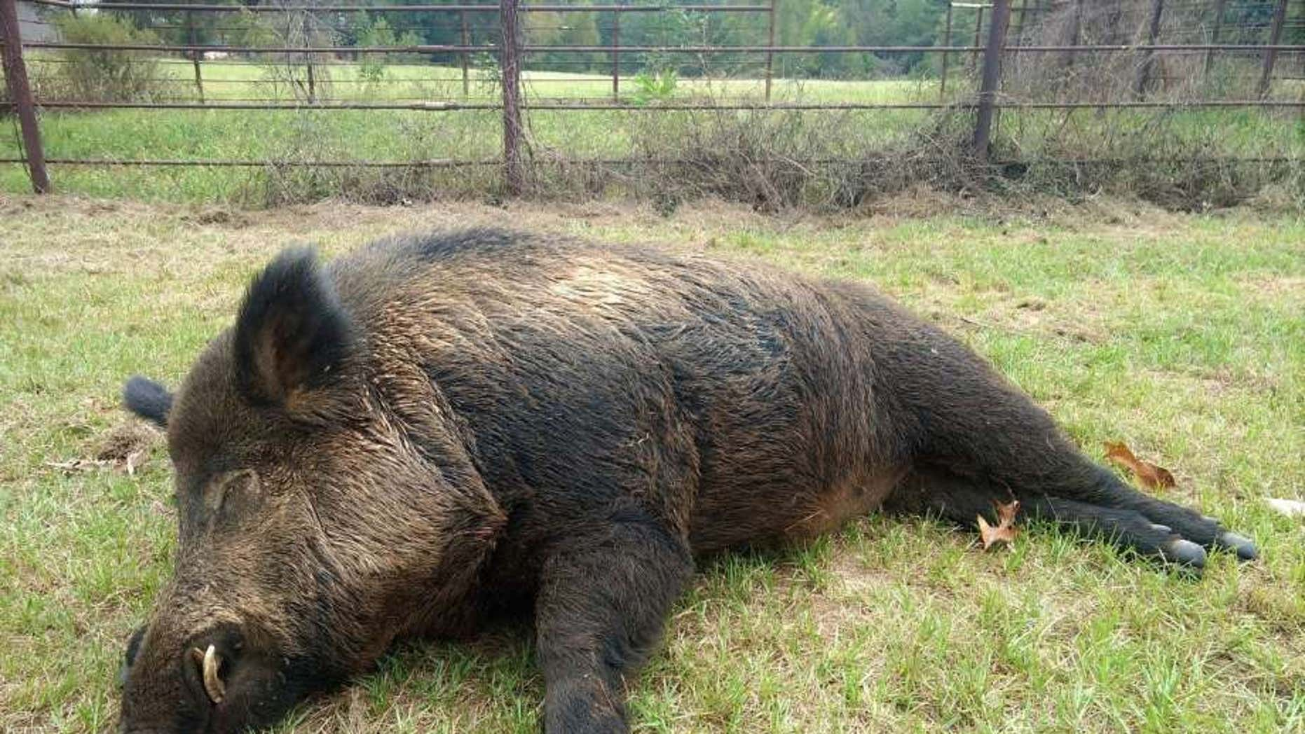 This massive wild hog was killed by Joe Clowers.