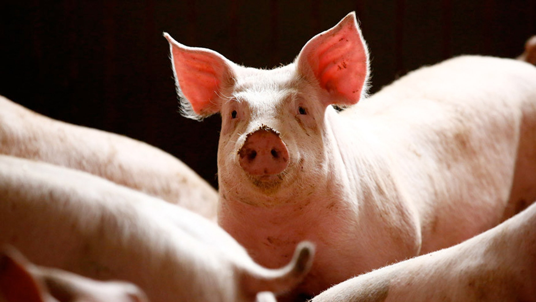 Randers, central Denmark, has made it mandatory for pork to always be on the menu in municipal canteens, drawing praise from the anti-immigration lobby which promotes 'Danish food culture.'
