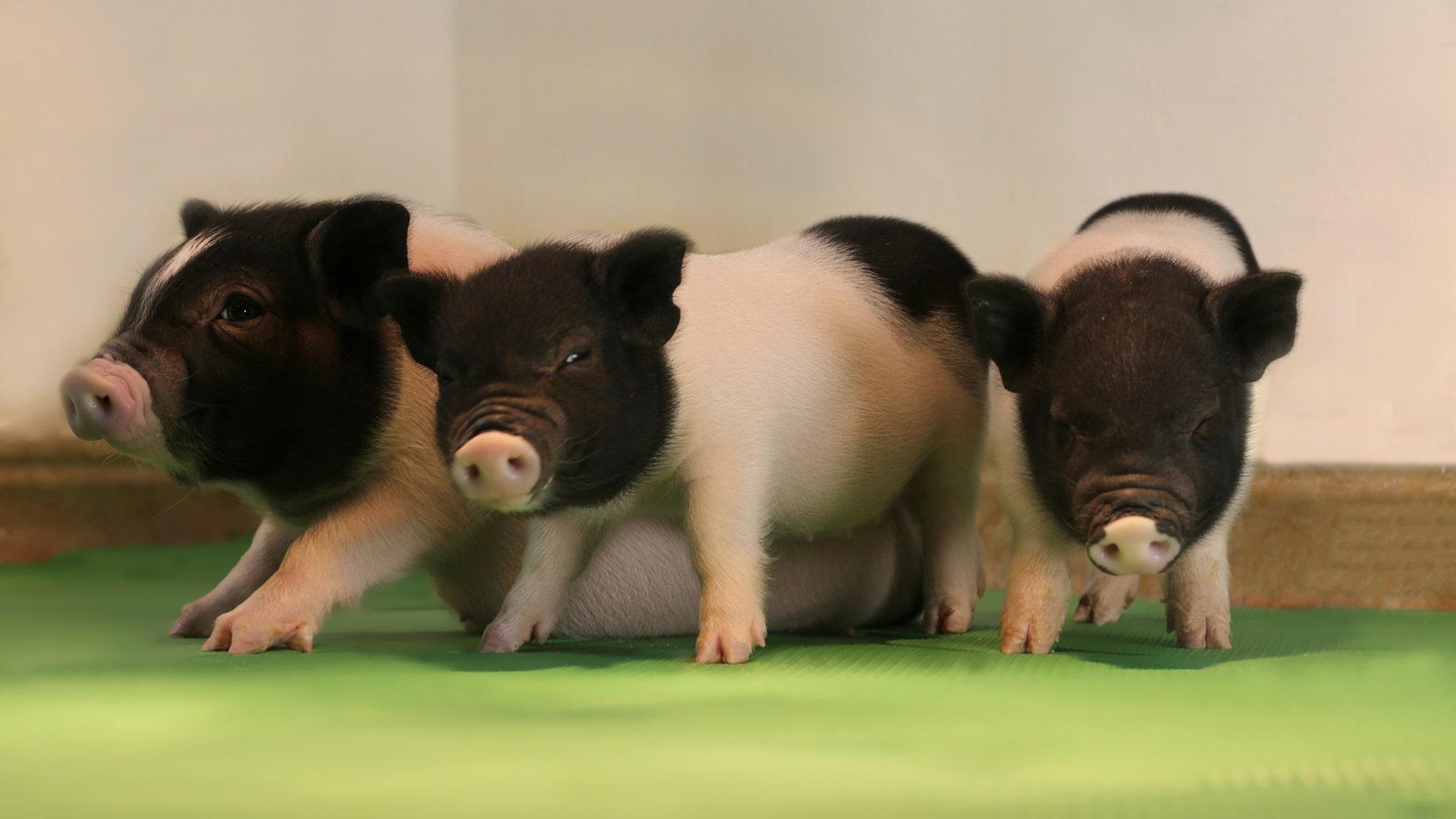 Three of the genetically engineered piglets (eGenesis).