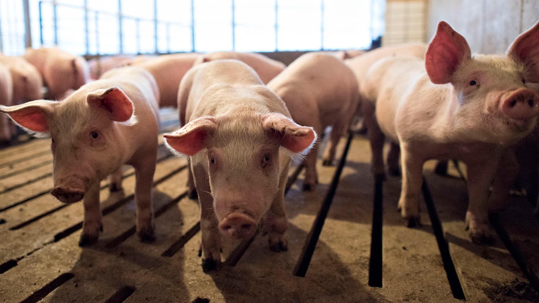 Nov. 19, 2014: Several-week-old pigs stand in a pen inside a barn at Paustian Enterprises in Walcott, Iowa. (Reuters)