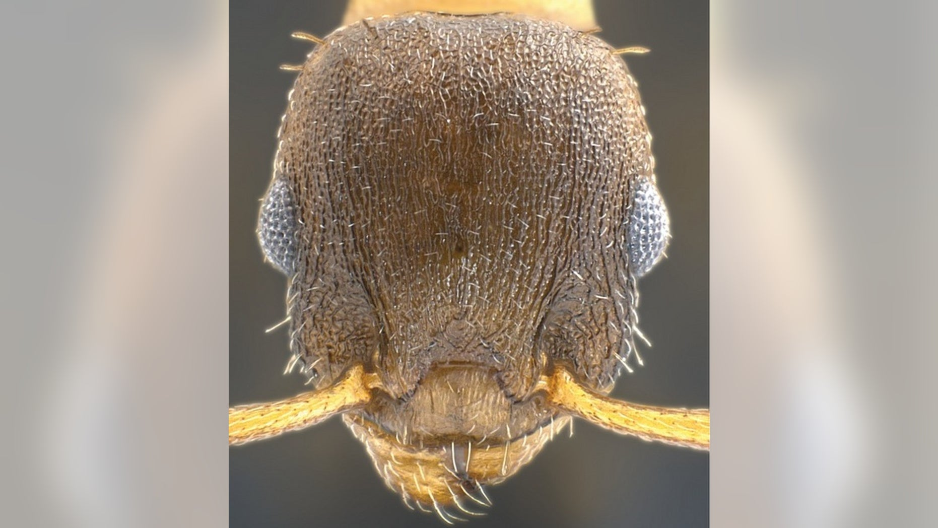 """The """"pillage ant,"""" or Temnothorax pilagens, launches raids on the protected homes of other ants and takes captives for its slave workforce."""