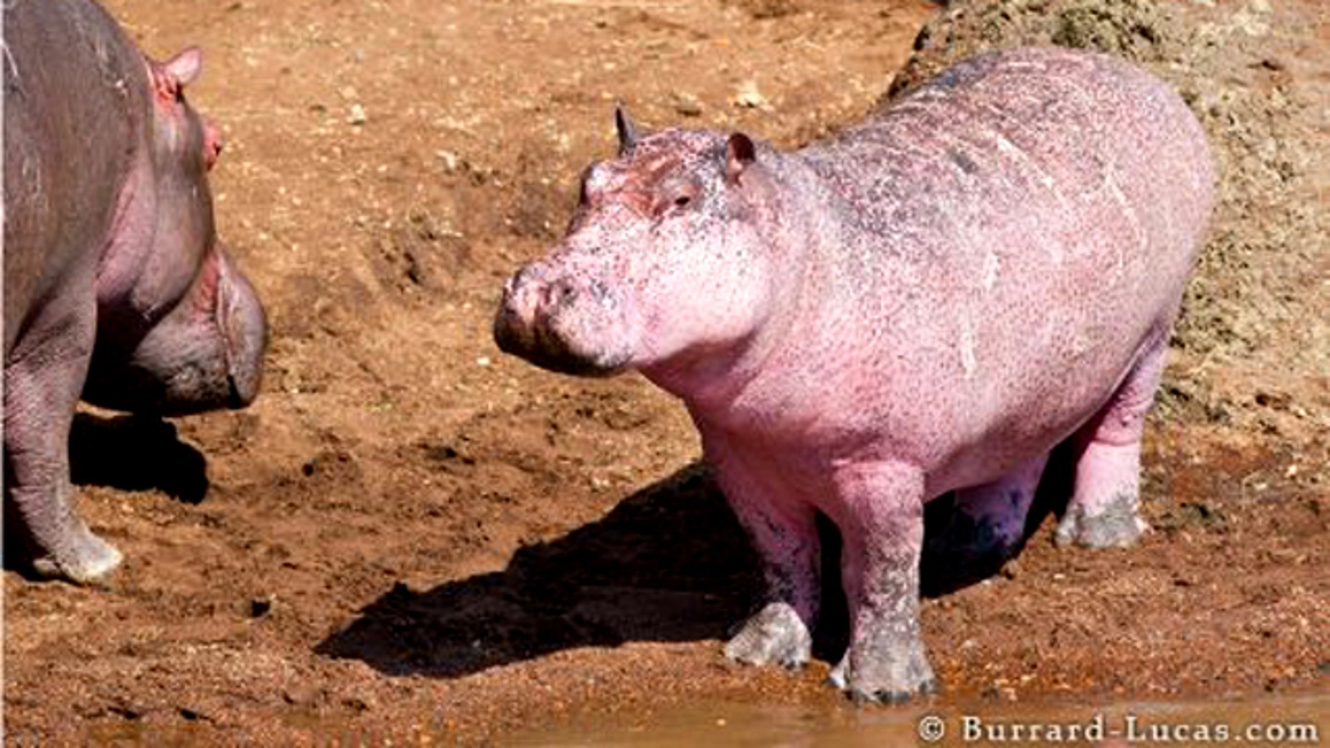 Wildlife photographers in Kenya were pleasantly surprised to stumble across this rare site: a pink hippo.