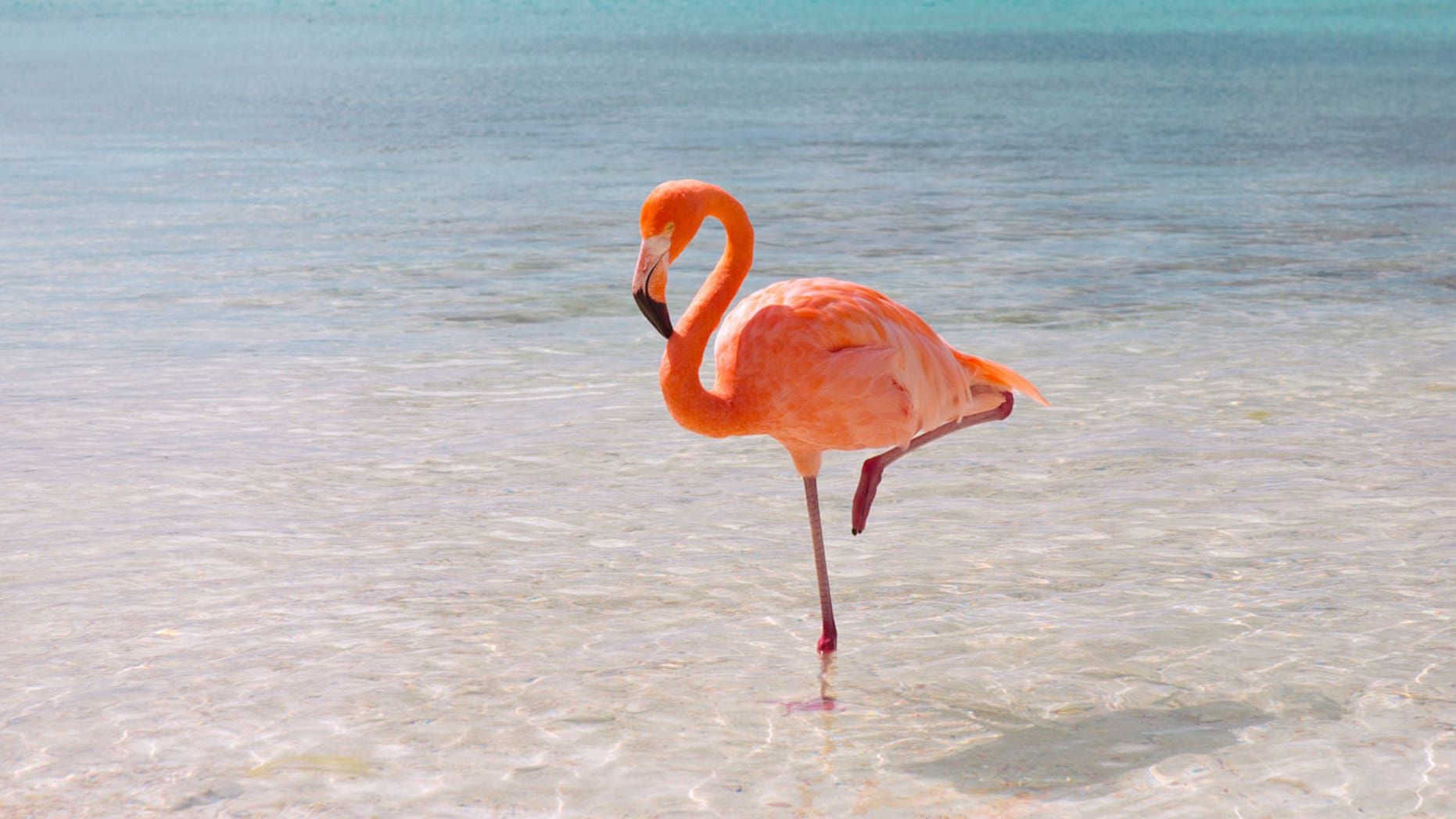 Tourists at one Caribbean resort say its flamingo population isn't there of their own volition.