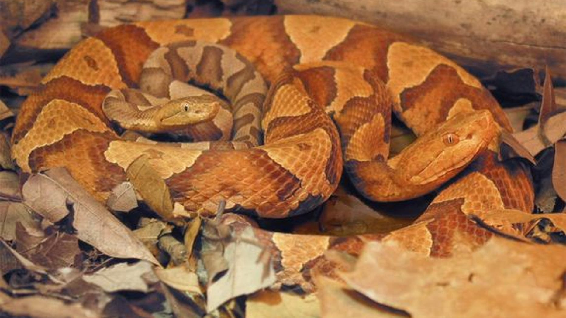 A female copperhead snake (<em>Agkistrodon contortrix</em>) and her offspring born via parthenogenesis, also called virgin birth, described in a study reported Sept. 12, 2012 in the journal Biology Letters.