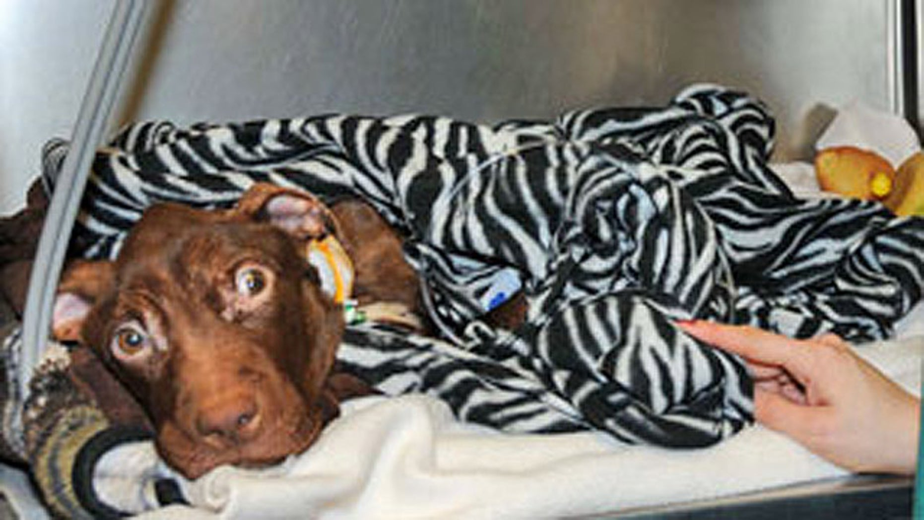 Patrick the pit bull was found starved and barely alive inside a garbage chute at the Garden Spiers apartment complex in Newark, N.J.,  on March 16 (AHS).