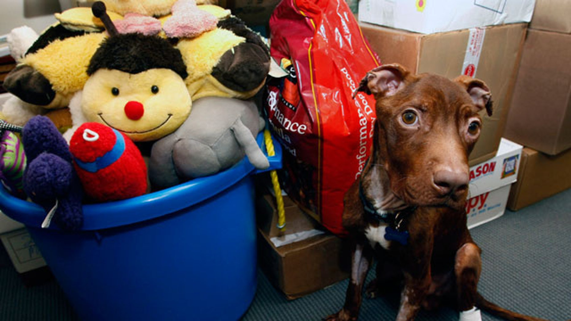 April 5: A 1-year-old pit bull nicknamed Patrick sits near piles of gifts donated to him as he recovers at Garden State Veterinary Specialists in Tinton Falls, N.J.