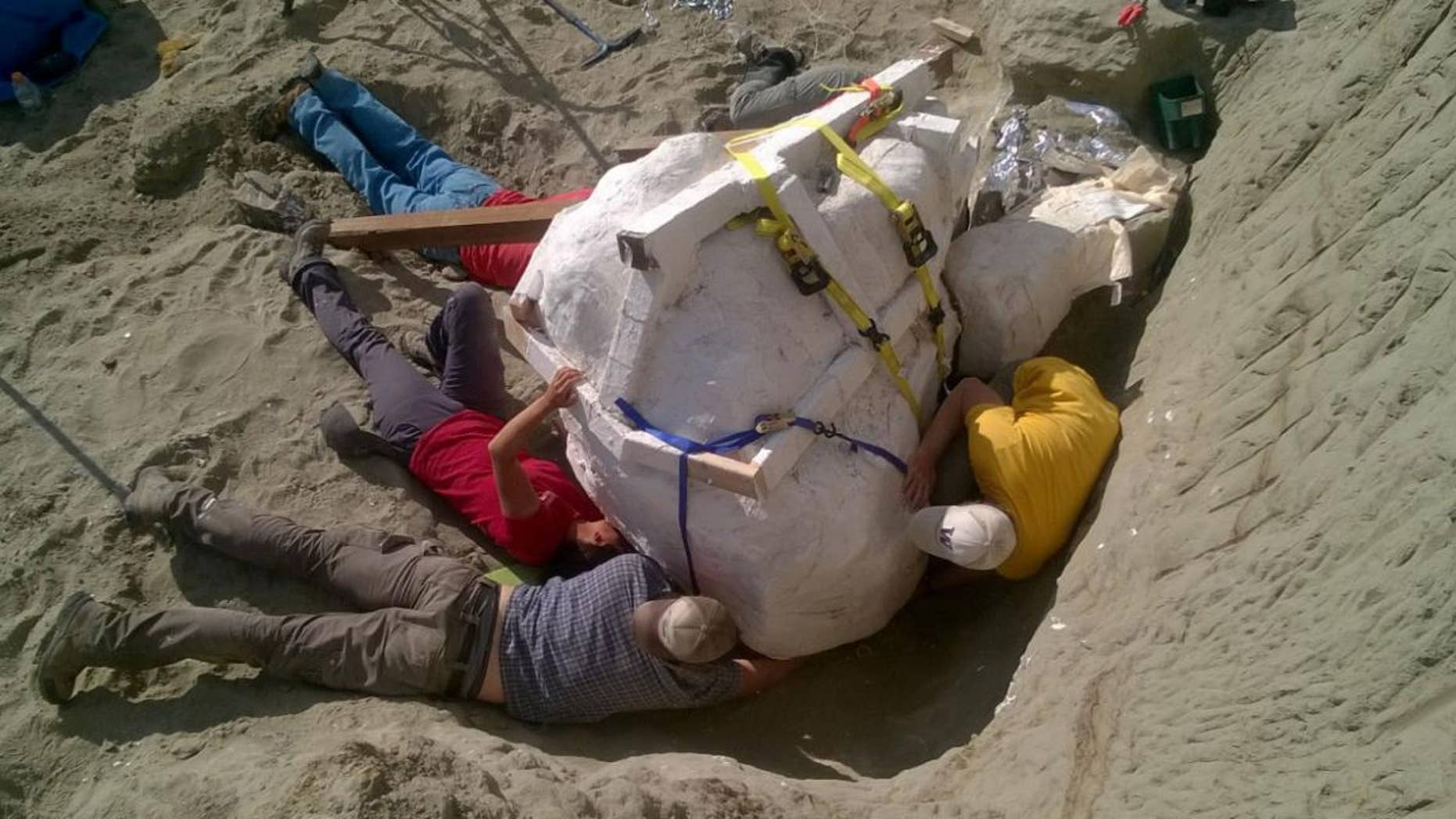 Paleontologists prepare to remove the T. rex skull from the dig site in northern Montana and transport it to the Burke Museum.