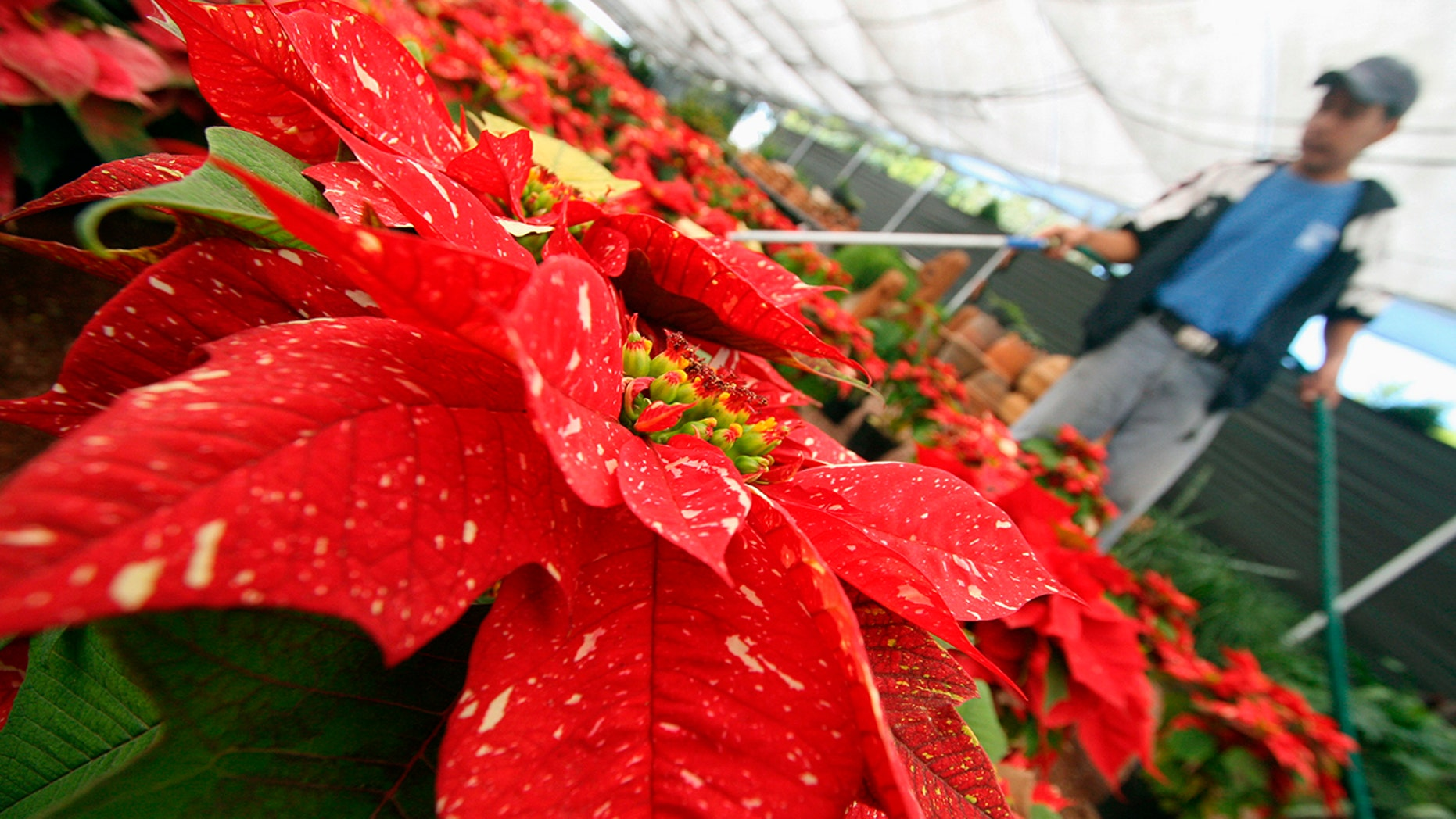 A worker waters poinsettias in a greenhouse in Mexico, Dec. 22, 2006.