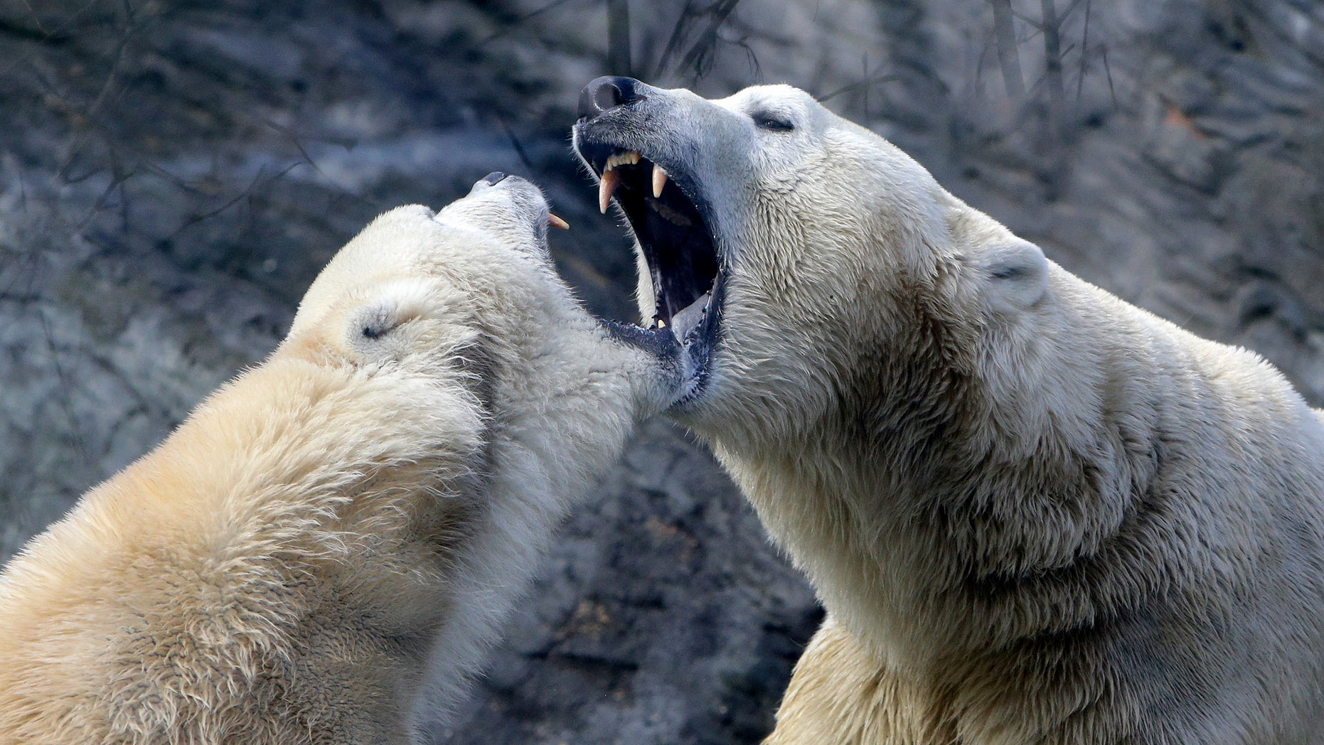 Polar bears play inside their enclosure at Prague Zoo, Czech Republic, February 24, 2016. (REUTERS/David W Cerny)