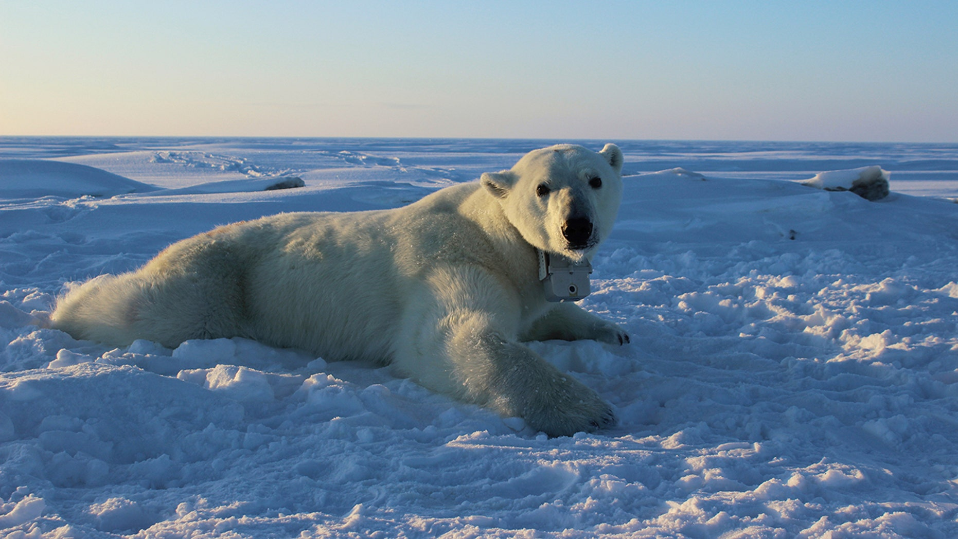 In this April 15, 2015, file photo, provided by the United States Geological Survey, a polar bear wearing a GPS video-camera collar lies on a chunk of sea ice in the Beaufort Sea.