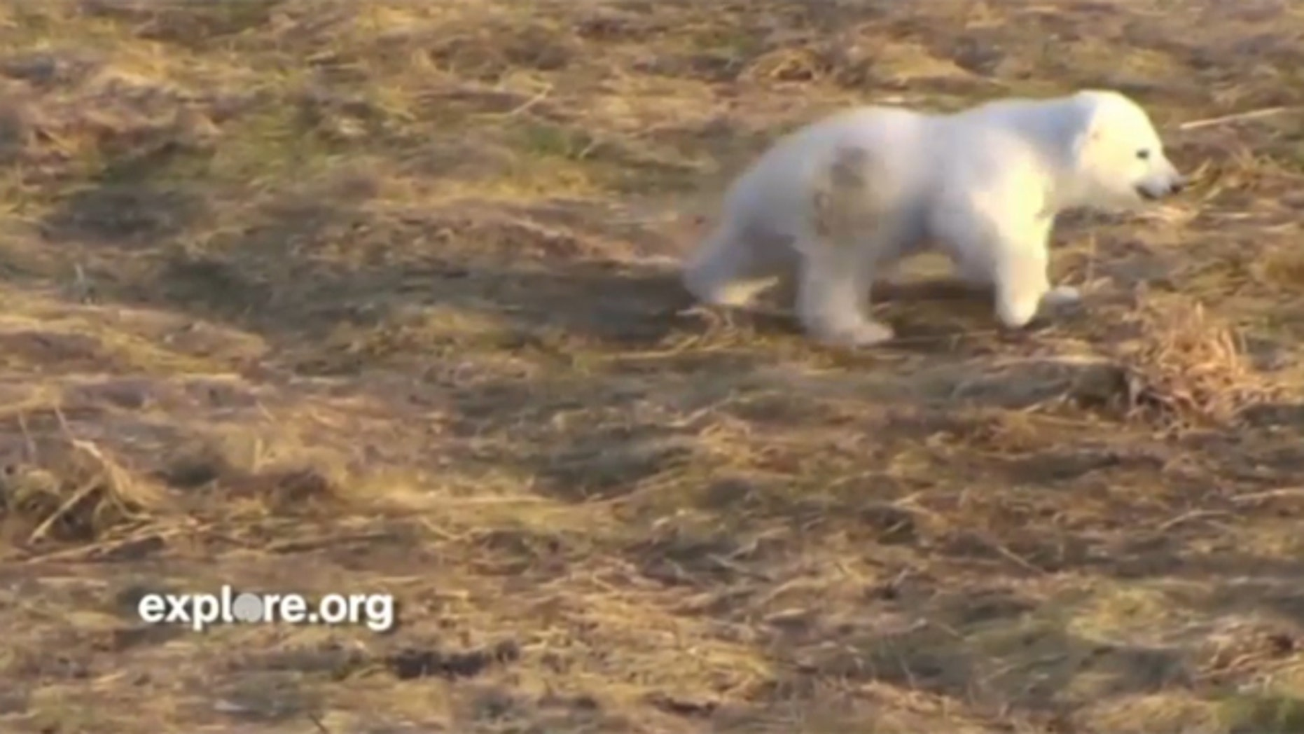 In this screenshot from Explore.org's live web cam, Siku, a baby polar bear, plays at the Scandinavian Wildlife Park in Kolind, Denmark.