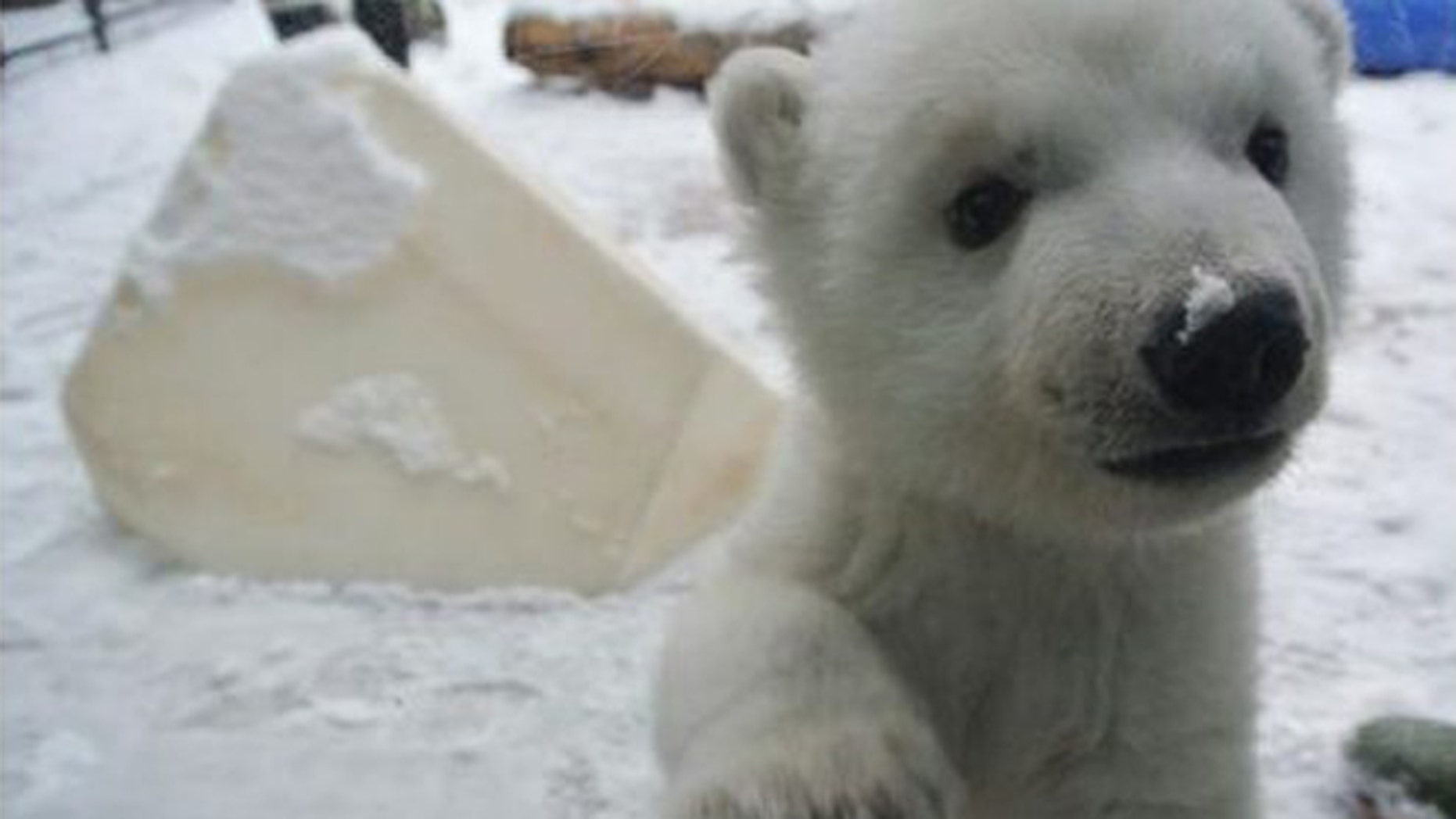 Polar bear cub frolicks in snow for first time. (Toronto Zoo)