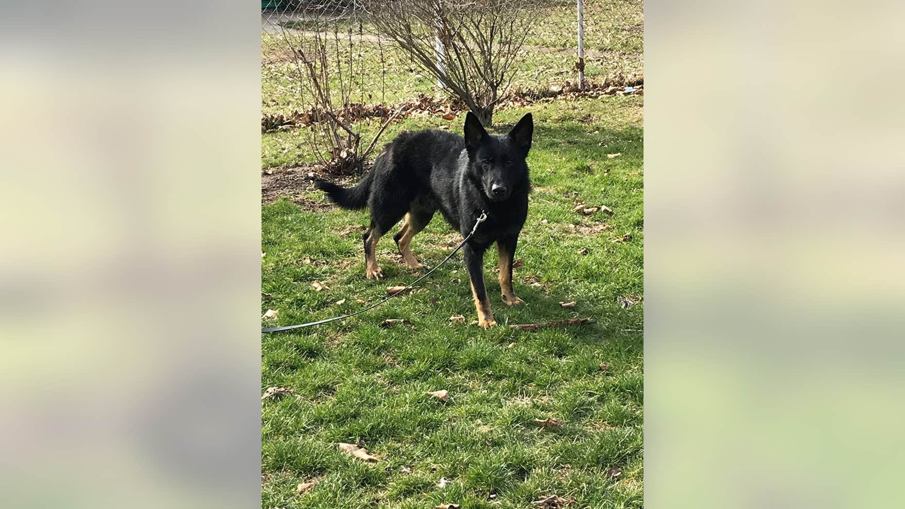 Roseco is a 20-month-old German Shepard.