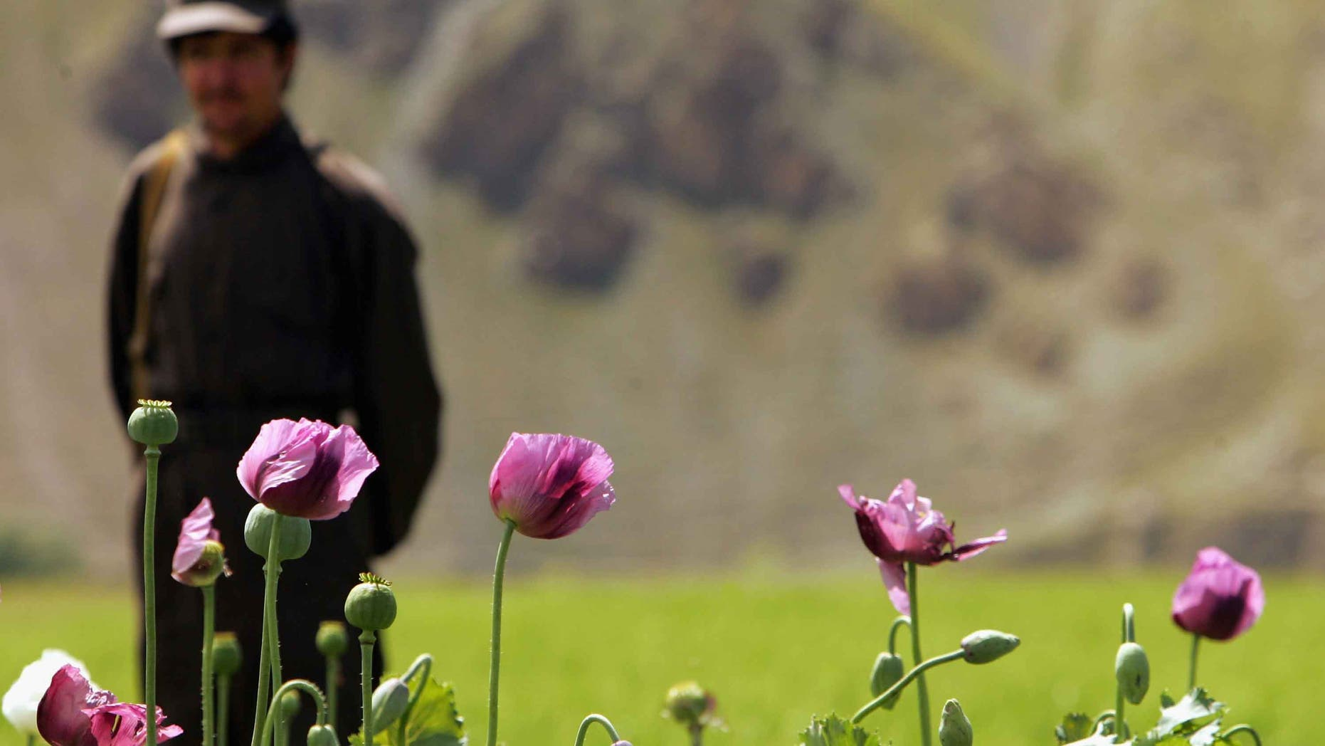 """PANSHAR, AFGHANISTAN - MAY 29: An Afghan security guard stands near by a poppy field May 29, 2005 in Panshar, in the Badakhshan district in the northeast of Afghanistan. 10 kg of opium makes about 1kg of heroin. Afghanistan, the world's largest producer of opium and heroin launched the first survey of drug abuse among its own population. The country produced 90 percent of the world's opium which is refined into heroin for sale in many parts of the world. U.N. experts have warned that the country is turning into a """"narco-state"""" less than four years after the fall of the Taliban. President Hamid Karzai recently came under fire during his visit with President Bush for his record in fighting the war on drugs. (Photo by Paula Bronstein/Getty Images)"""