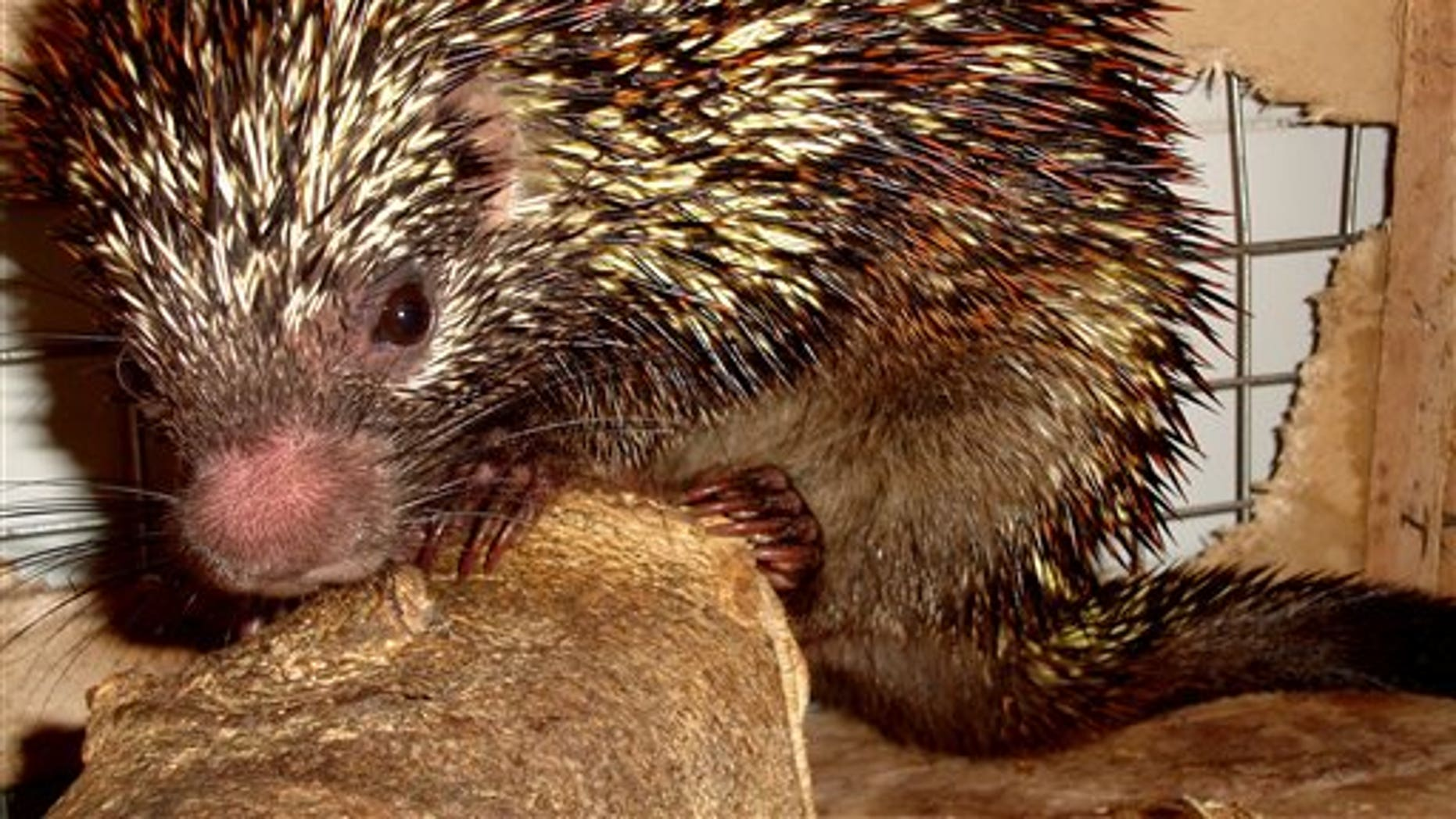 "A new species of the porcupine ""Coendou speratus"" in Pernambuco, Brazil."