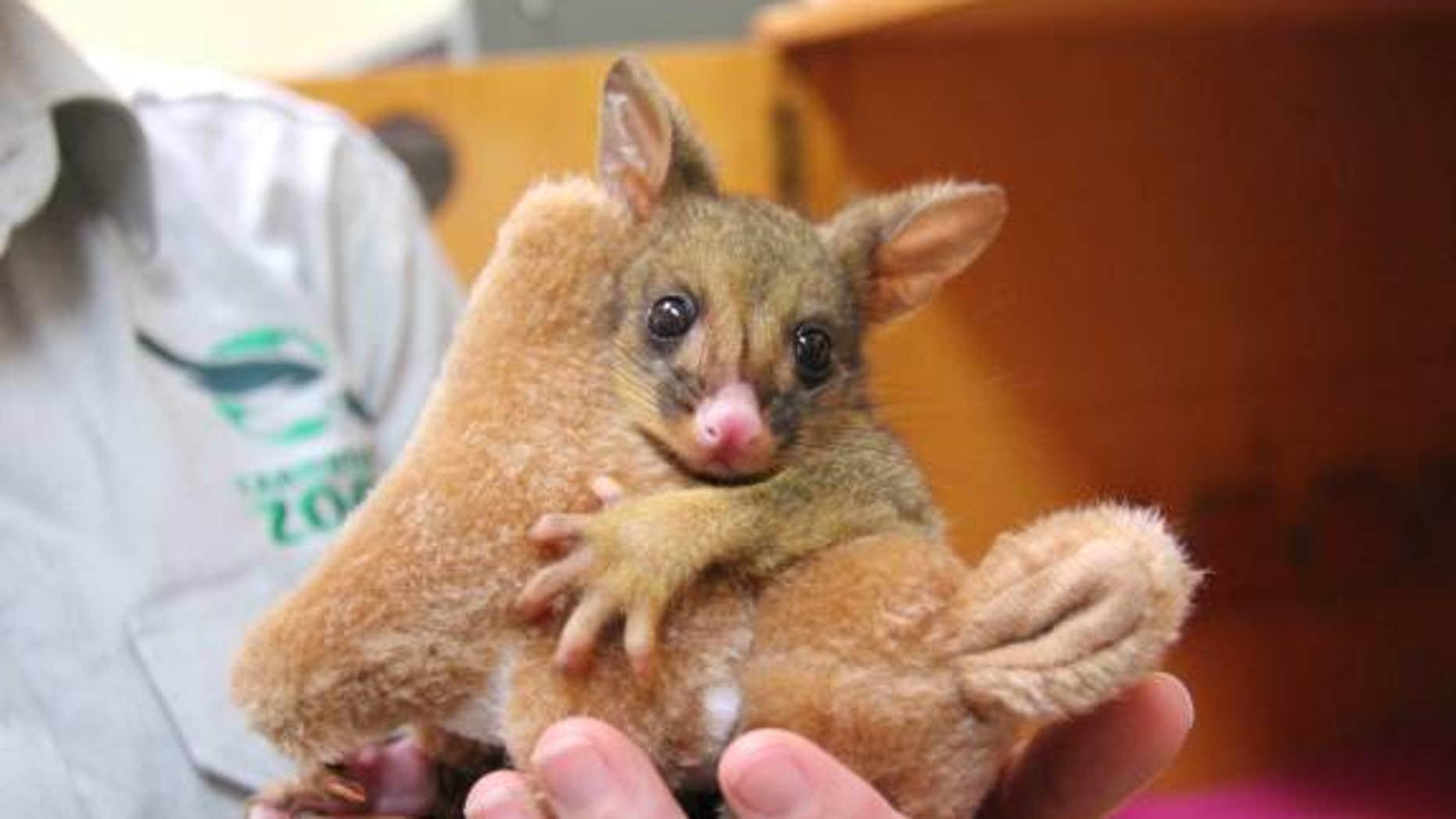 """""""Bettina"""" the Brushtail Possum joey. (Paul Fahy)"""