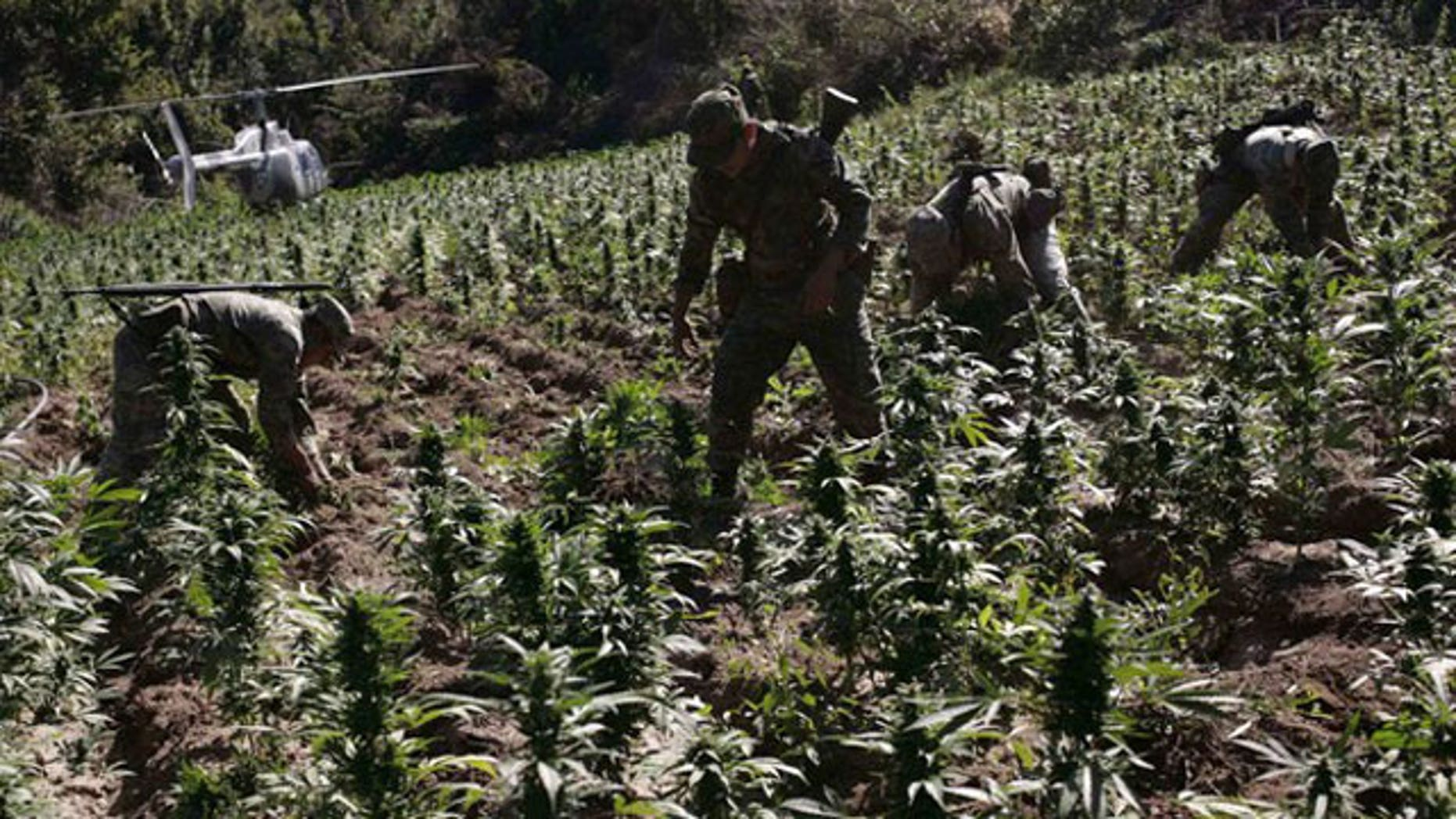December 7, 2011: Soldiers destroy marijuana plants during a military operation at Sierra de Culiacan in state of Sinaloa.