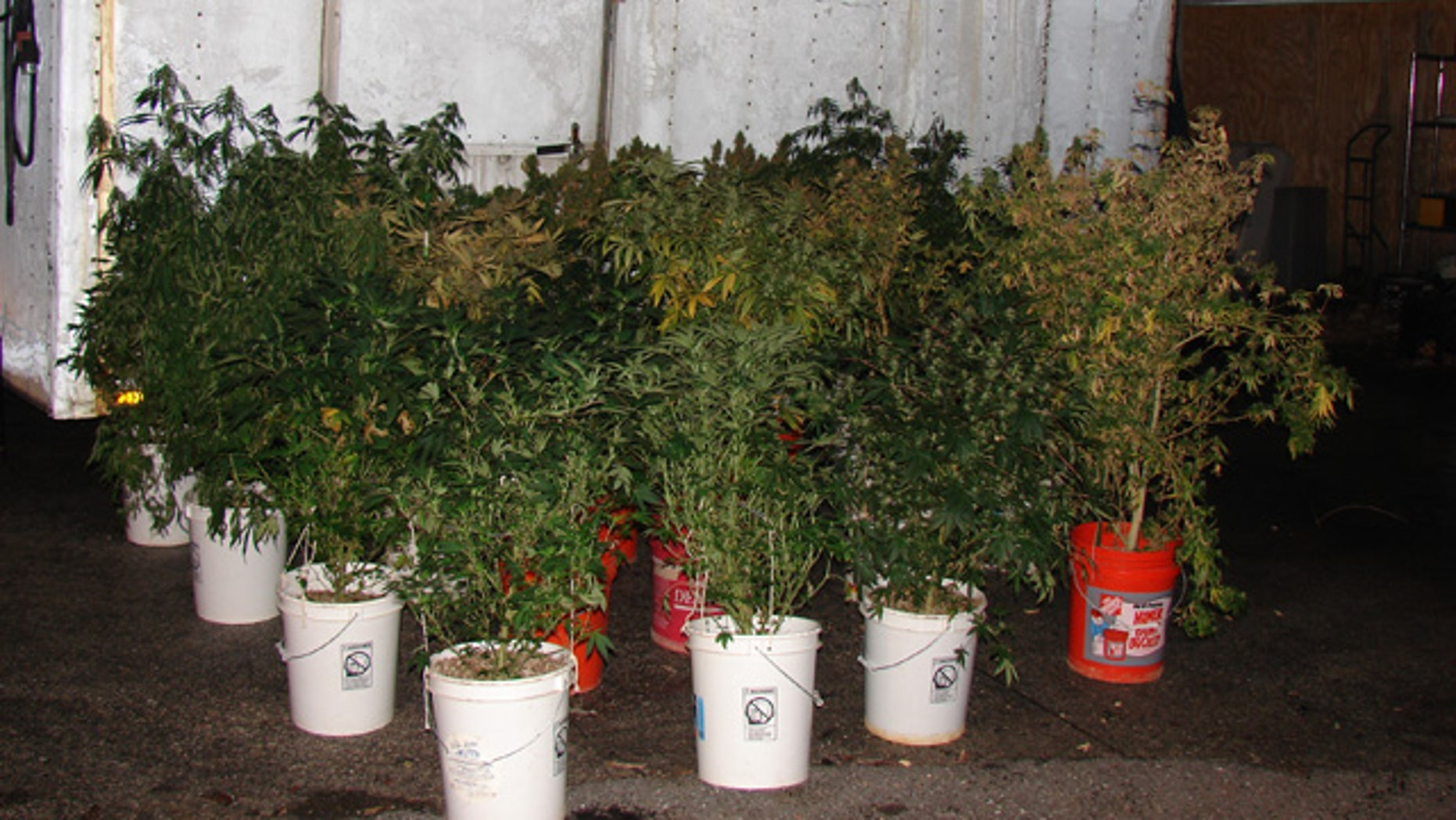 This undated photo released by the Howard County, Md., police, shows marijuana plants that were discovered at the home of 44-year-old Richard Marriott, after a car crashed into Marriott's home in Ellicott City, Md. Marriott and another person were uninjured when a BMW driven by 20-year-old Bryan Bolster crashed into Marriott's house and burst into flames on Dec. 10. Bolster died in the crash. Howard County police say fire investigators were inspecting Marriott's home when they found the drugs. (AP/Howard County Police)