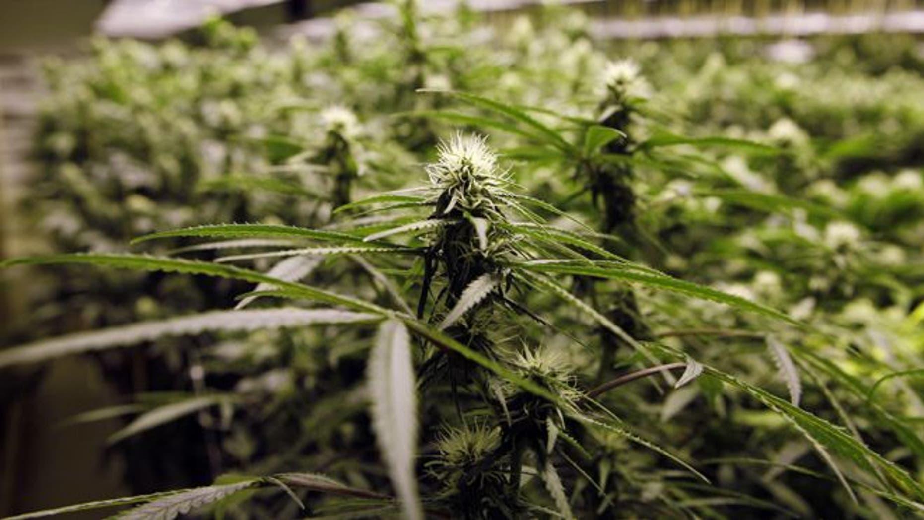 FILE: Nov. 8, 2012: Marijuana plants flourish under the lights at a grow house in Denver.