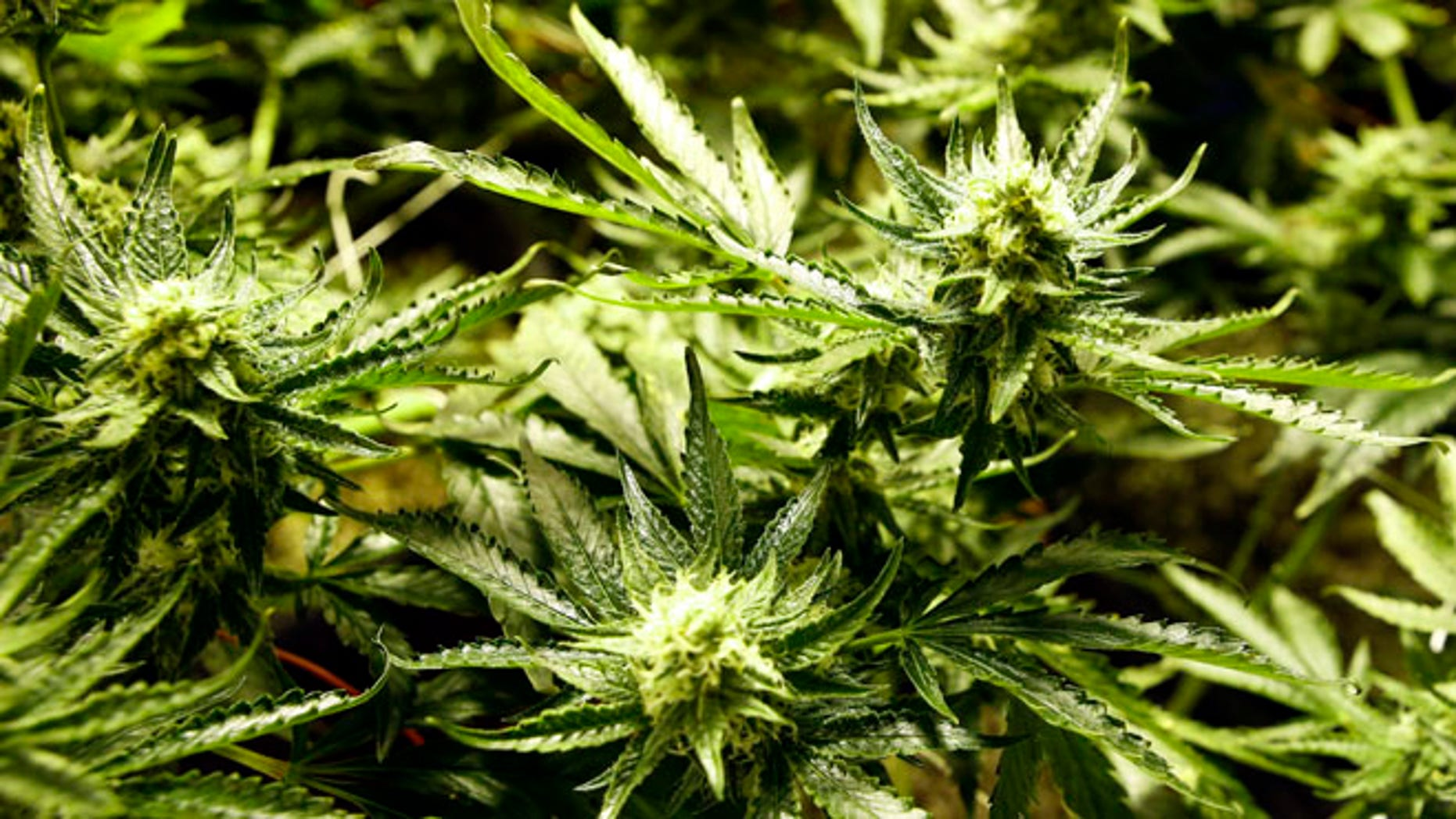 Dec. 5, 2013: Marijuana matures in ideal conditions at the Medicine Man dispensary and grow operation in northeast Denver.