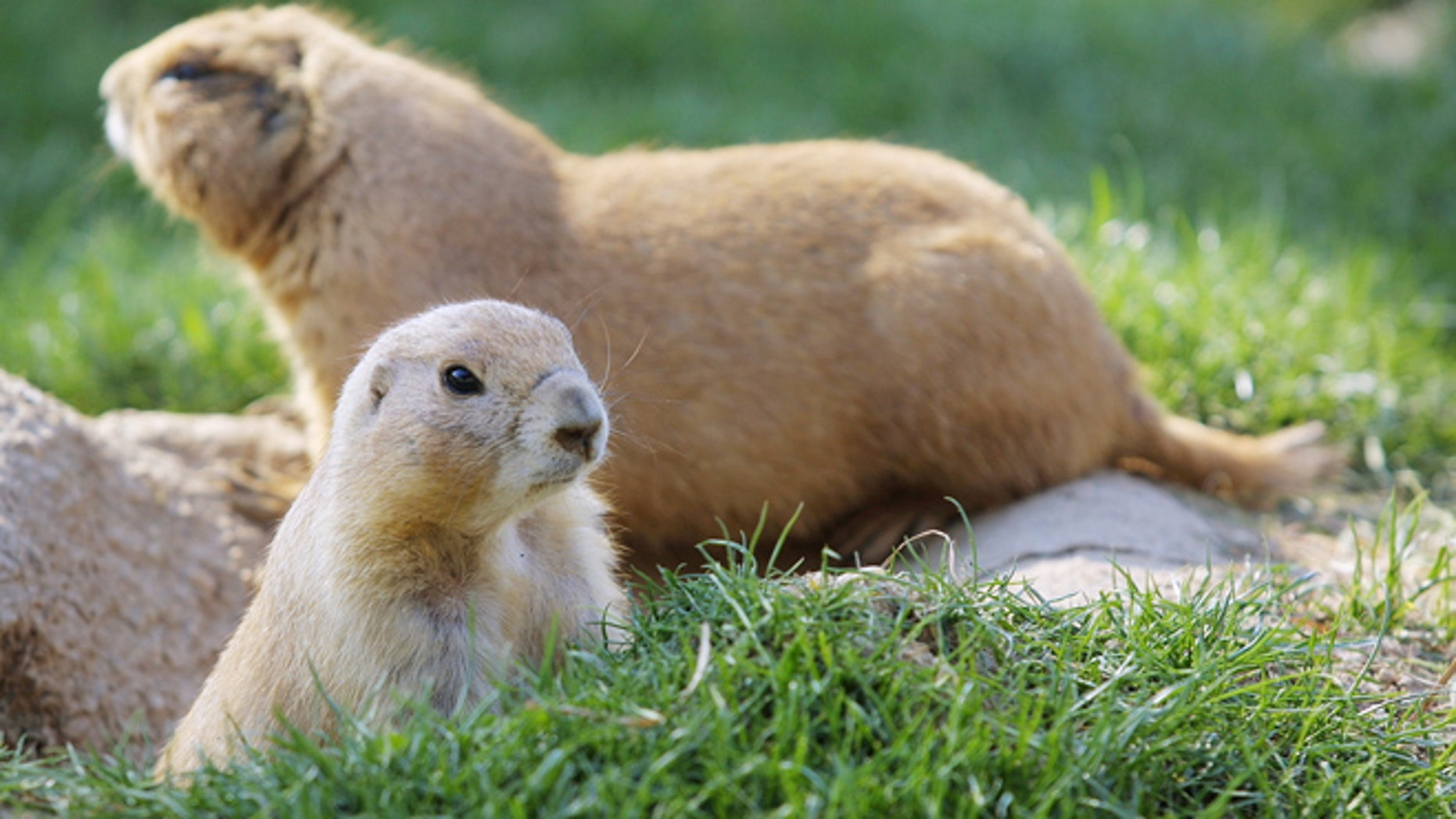 A pair of prairie dogs are pictured on display at the Washington National Zoo.