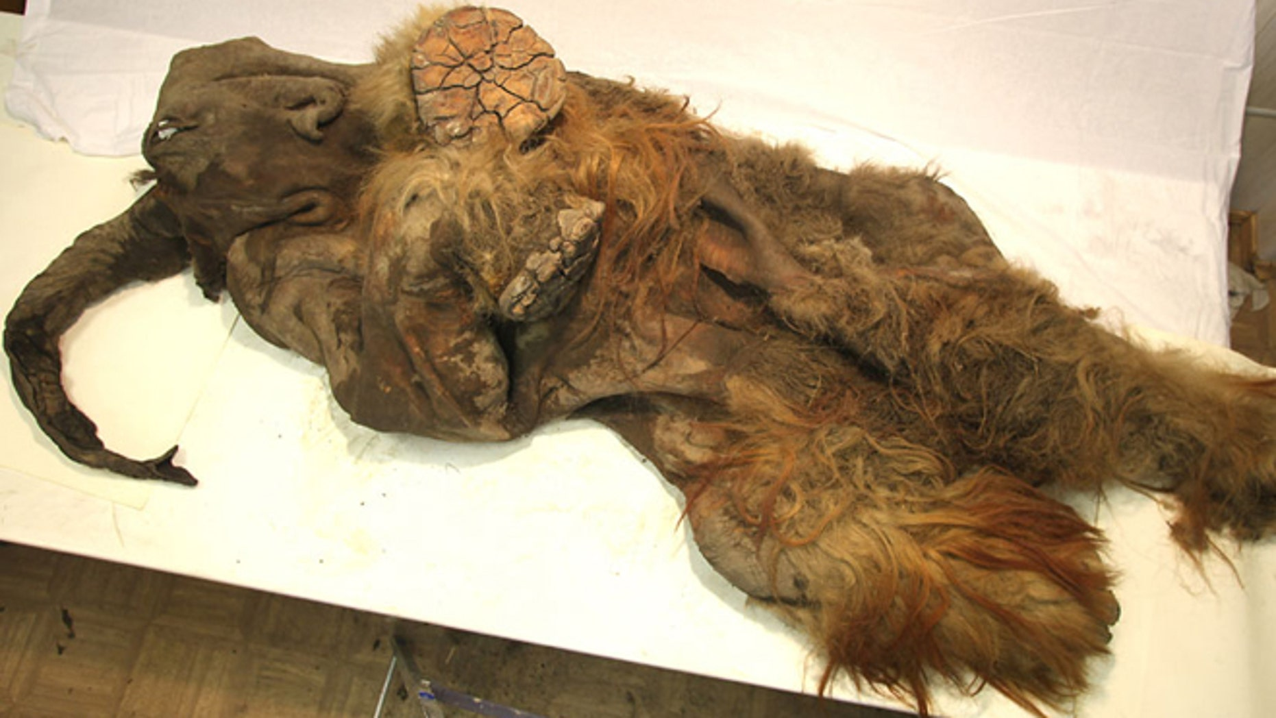 April 4, 2012: A newly discovered frozen mammoth, which is thought to have been approximately two and a half years old when it died, appears to have been cut open at some point.