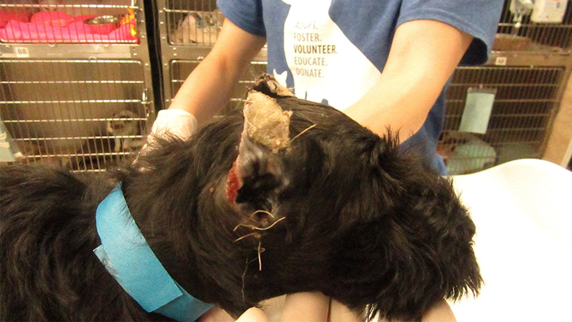 """The Pennsylvania SPCA on Thursday announced animal cruelty charges against a woman accused of """"cropping"""" several miniature schnauzer puppies' ears in what the organization described as a """"traumatic experience."""""""