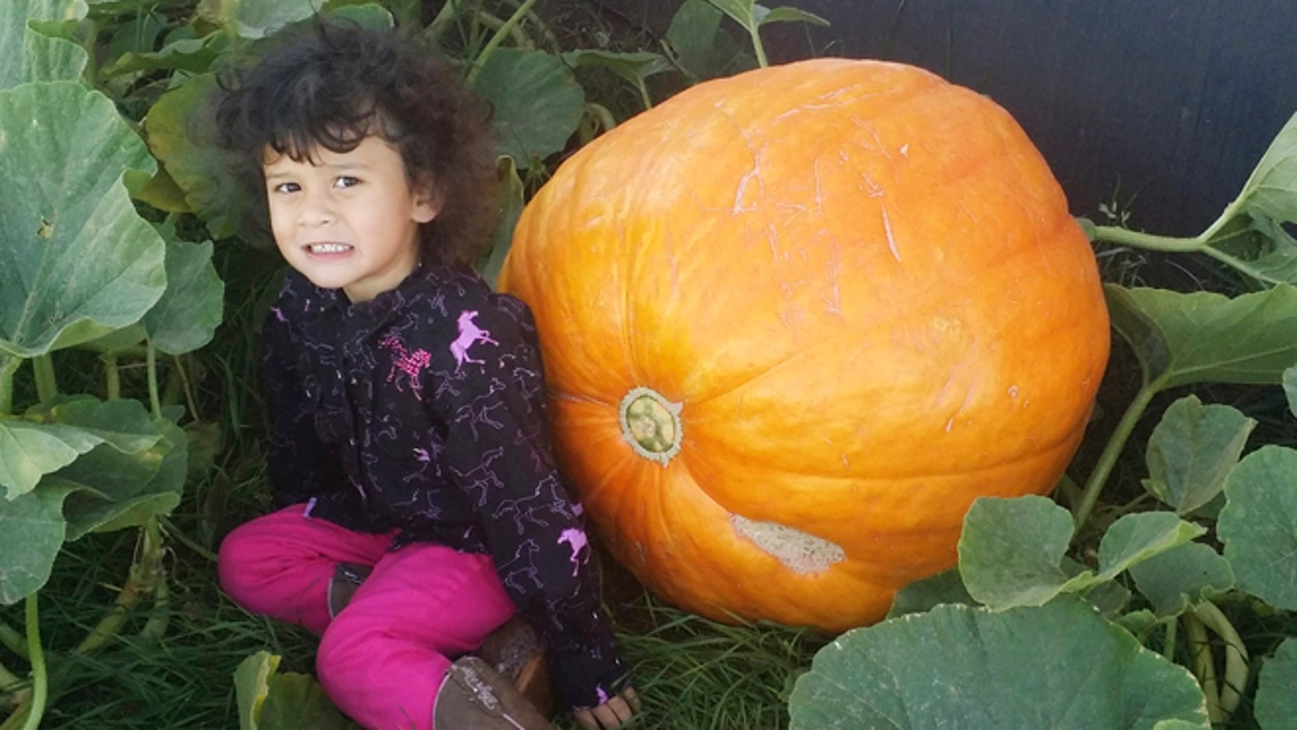 Sept. 18, 2015: In this photo, provided by Matthew Murraine, his daughter, Lilianna, poses next to a giant pumpkin that weighs about 100 pounds outside their home in Spearfish, S.D. The pumpkin was stolen later in the day in what the Murraine calls a heist that was carefully planned.