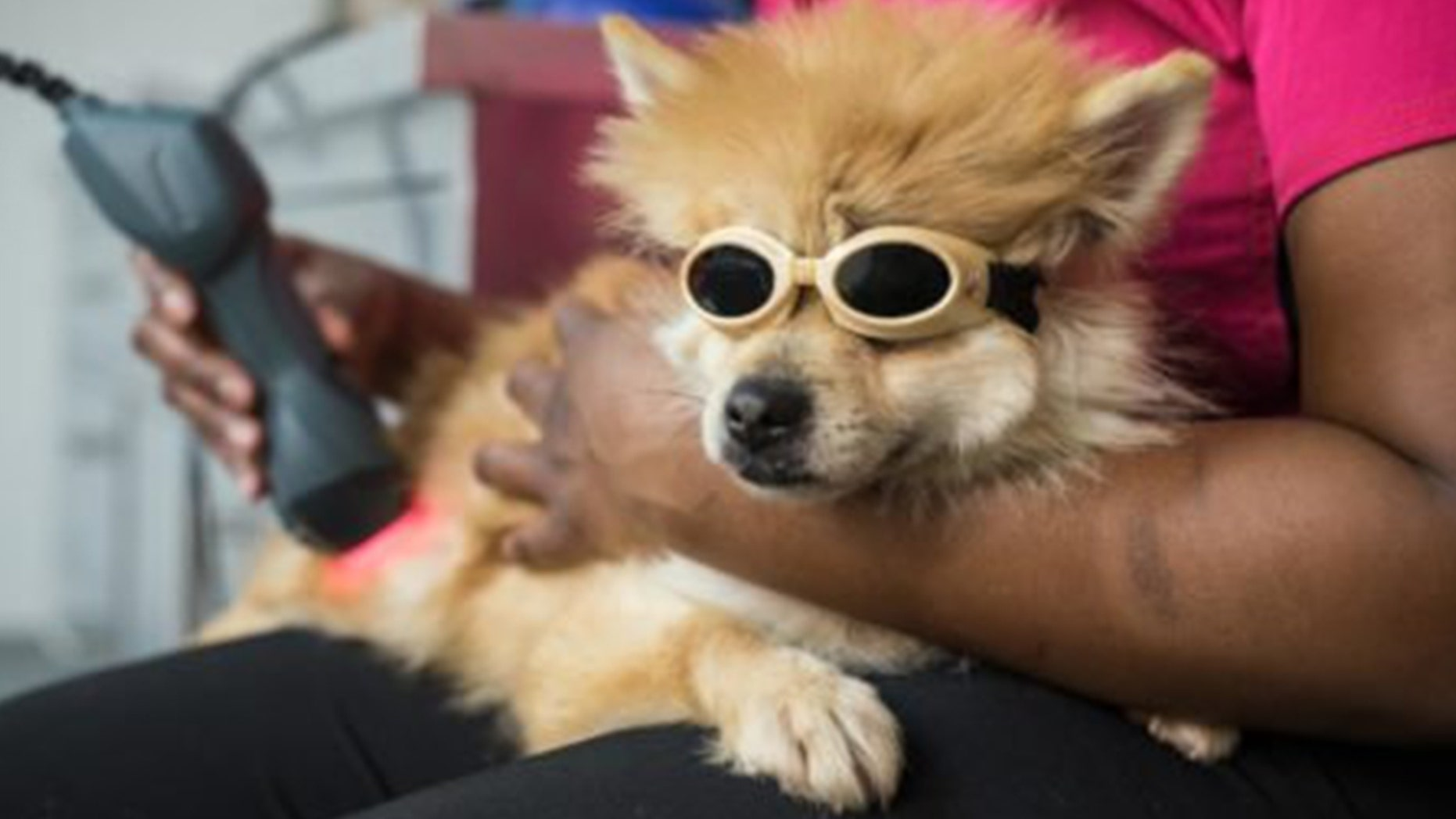 A paralyzed young Pomeranian has seen a miracle recovery thanks to special water therapy.