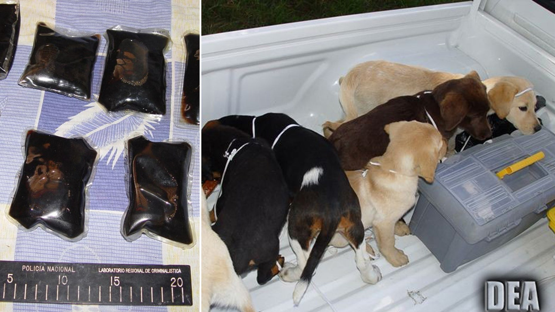 This 2006 photo provided by U.S. Drug Enforcement Administration officials shows puppies rescued from a farm in Colombia destined for use by a U.S. veterinarian working for a Colombian drug trafficking ring and the how the liquid heroin was packaged to be surgically inserted into the puppies' bellies.