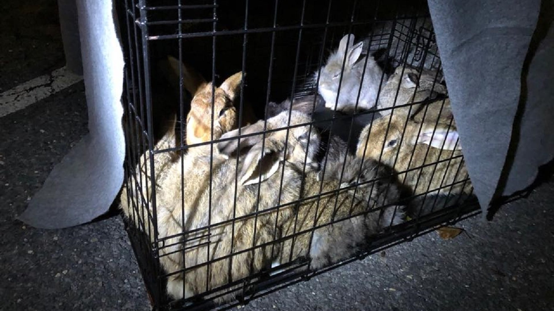 Twenty-eight domesticated rabbits were recently rescued around a train station in Ronkonkoma, Long Island.