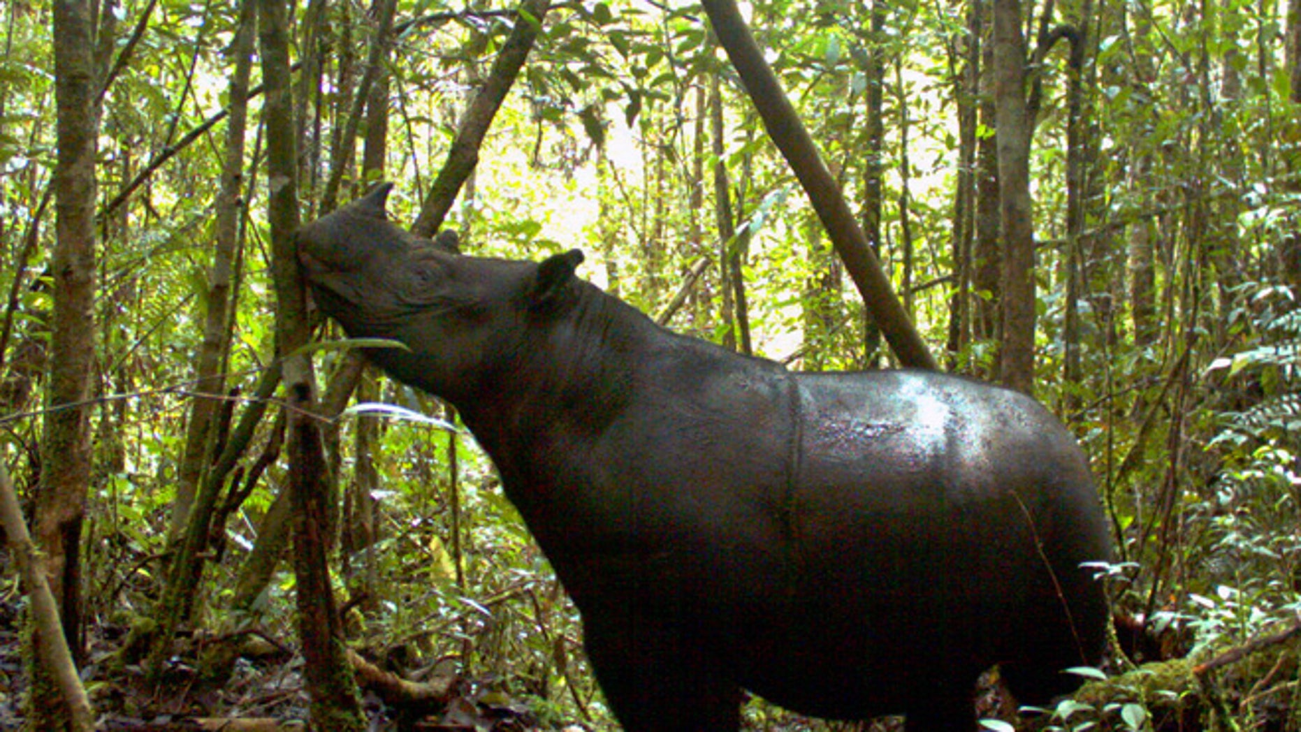 A Sumatran rhino roams at Gunung Leuser National Park in Aceh province, Indonesia. A conservationist from the foundation said Thursday, Aug. 9, 2012 that seven of the world's rarest rhinoceroses were photographed at the national park. It is the first sighting there in 26 years.
