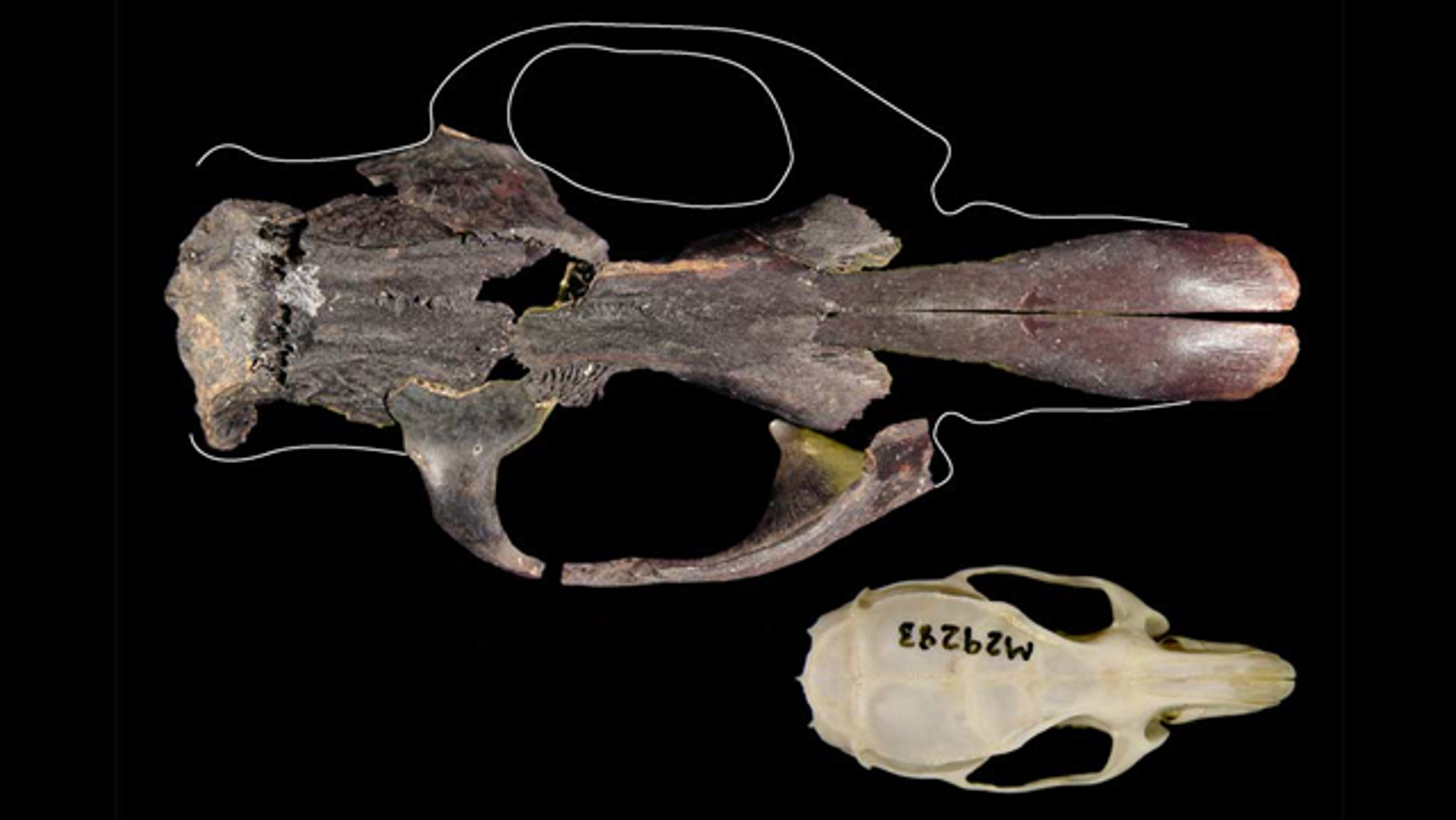 The world's largest rat, found on East Timor, would have dwarfed today's black rat (also called a house rat). Here, the skull of a black rat (bottom) compared with a fairly complete skull of one of Timor's other extinct giant rats (top). The giant rat shown here isn't the biggest of the extinct rats, which was around 25 percent bigger again.