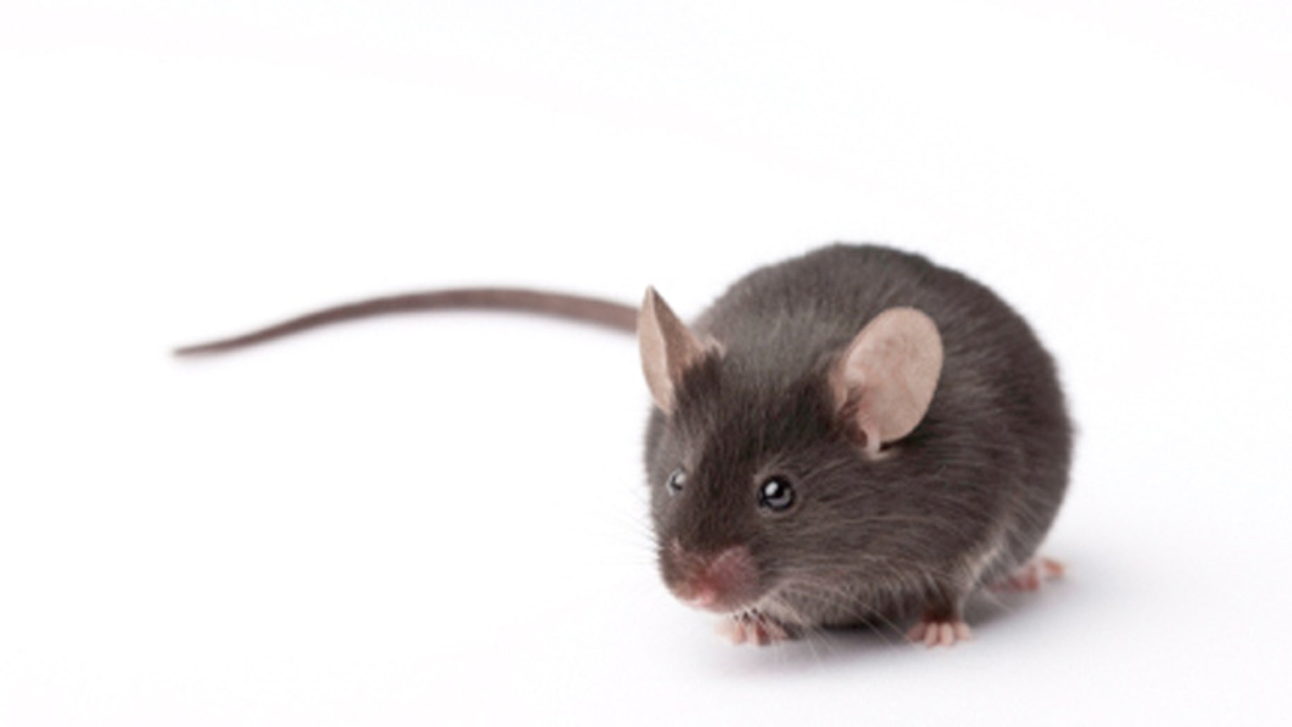lab mouse pictures - HD1862×1048