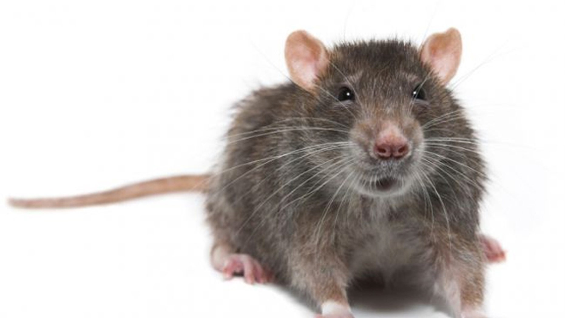 Customs claims to have found a rodent in a Chop't sandwich.