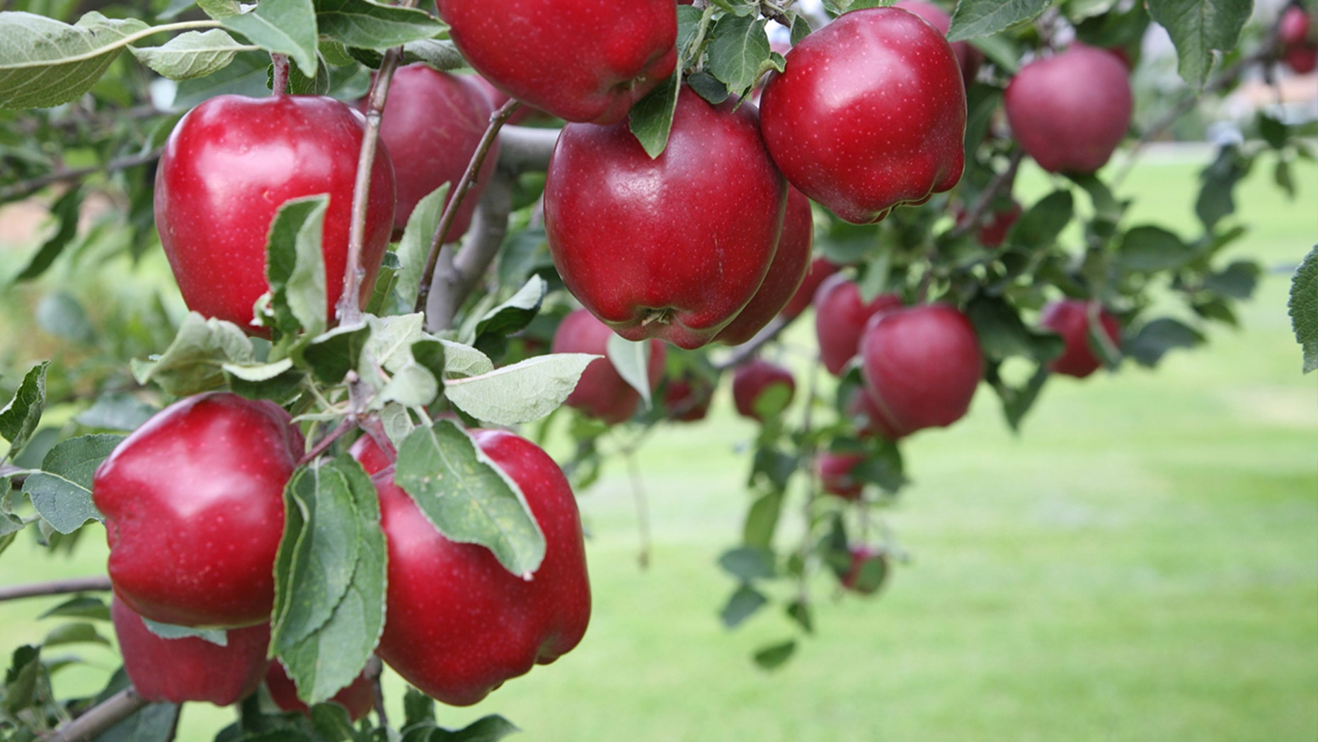 Red Delicious No Longer Americas Most Grown Apple Fox News