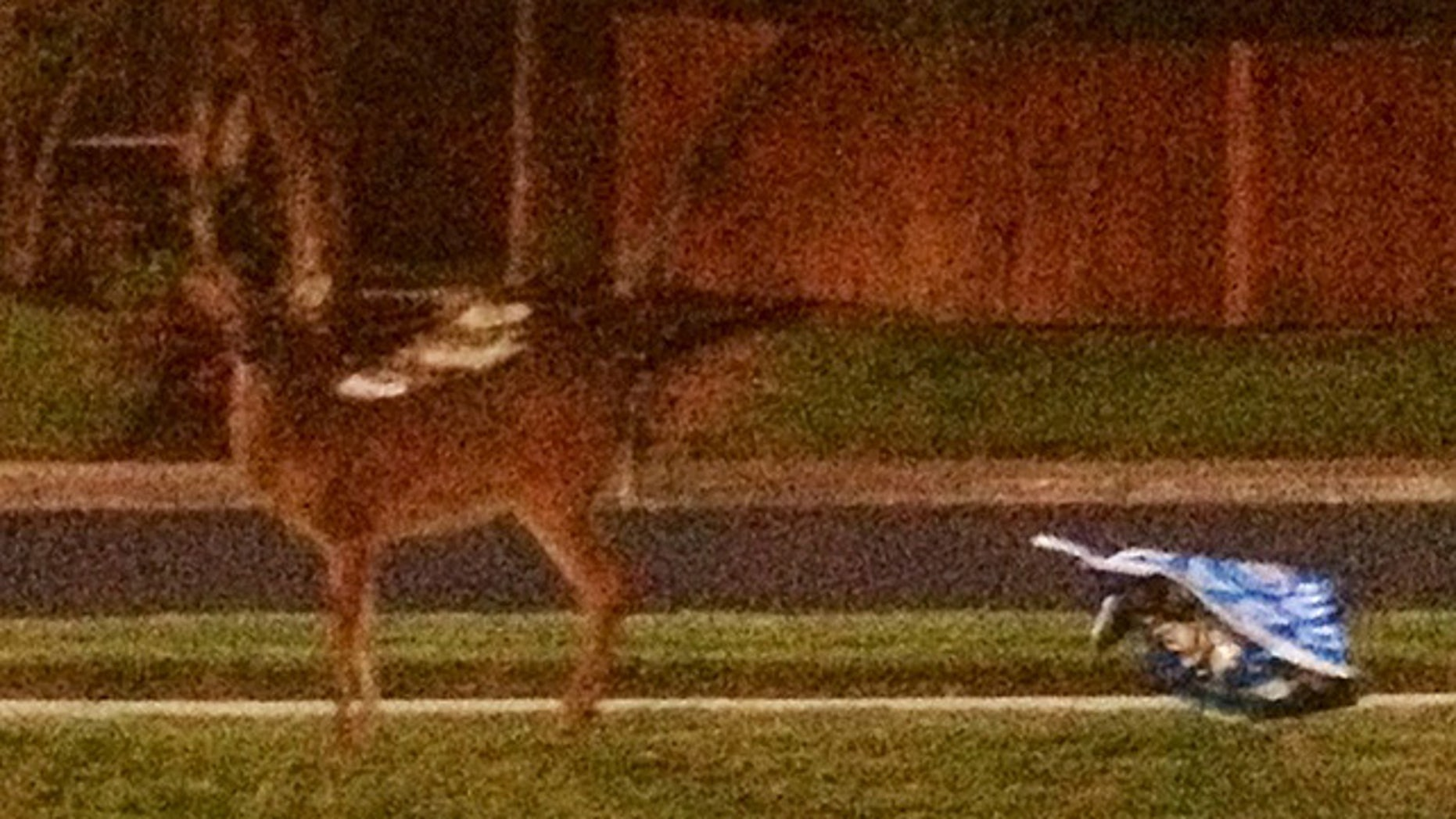 The offending deer, caught on camera by Tom Priem's wife seconds after destroying the Obama campaign sign. (Courtesy: Tom and Beth Priem)