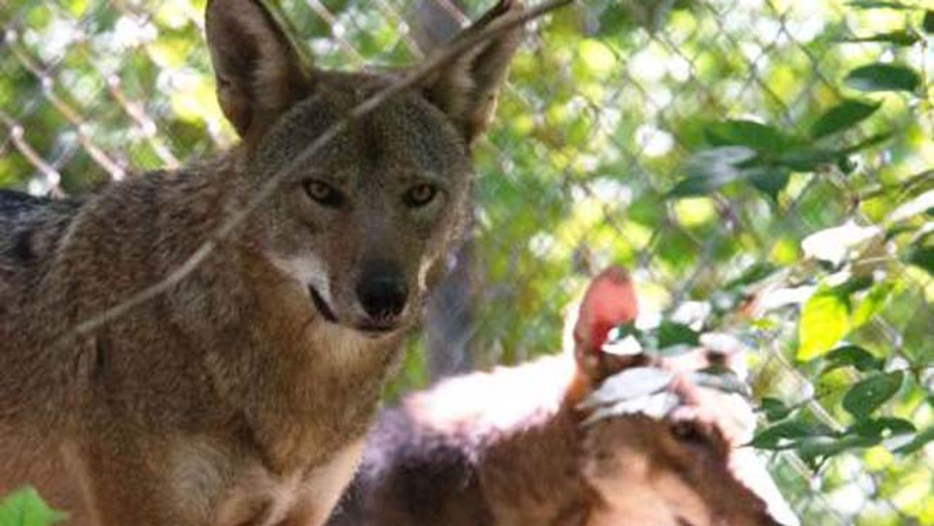 The red wolf is endangered - but is it a species?