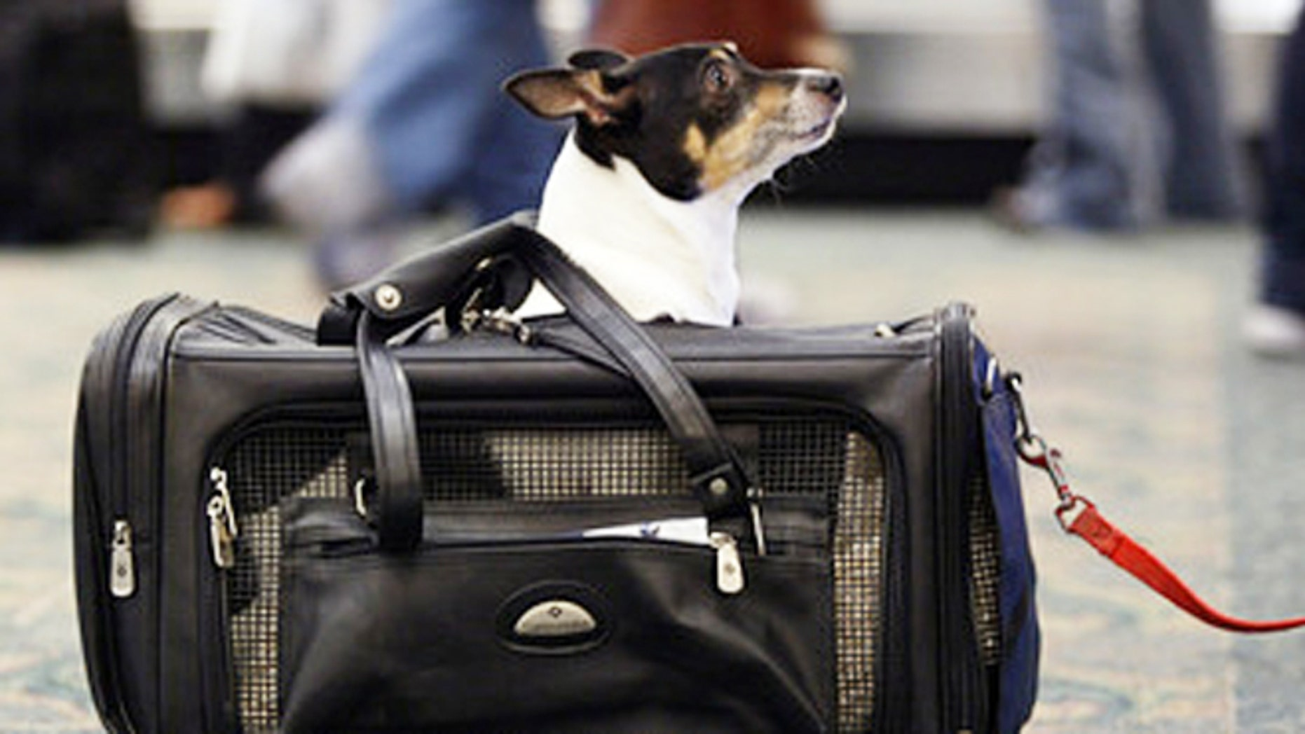 A dog prepares for travel at the airport.