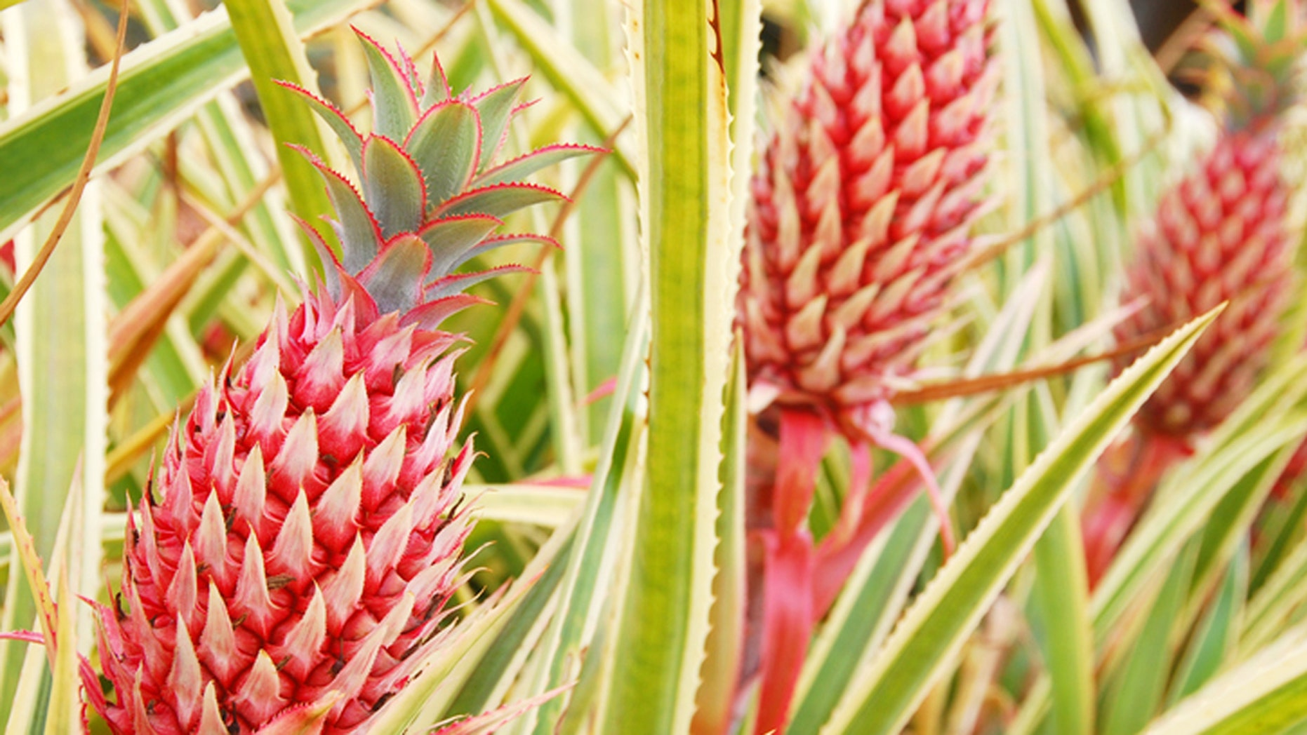 Would you eat a pink pineapple?