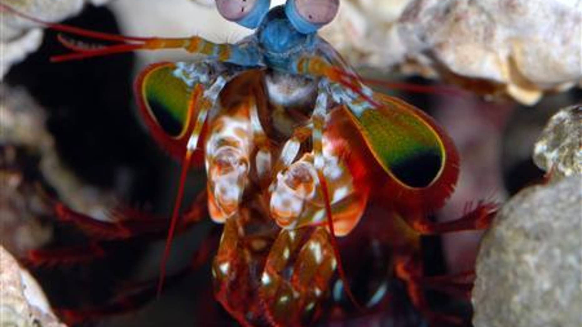 """Mantis shrimps, dubbed """"thumb splitters"""" by divers because of their vicious claws, have the most complex eyes in the animal kingdom."""