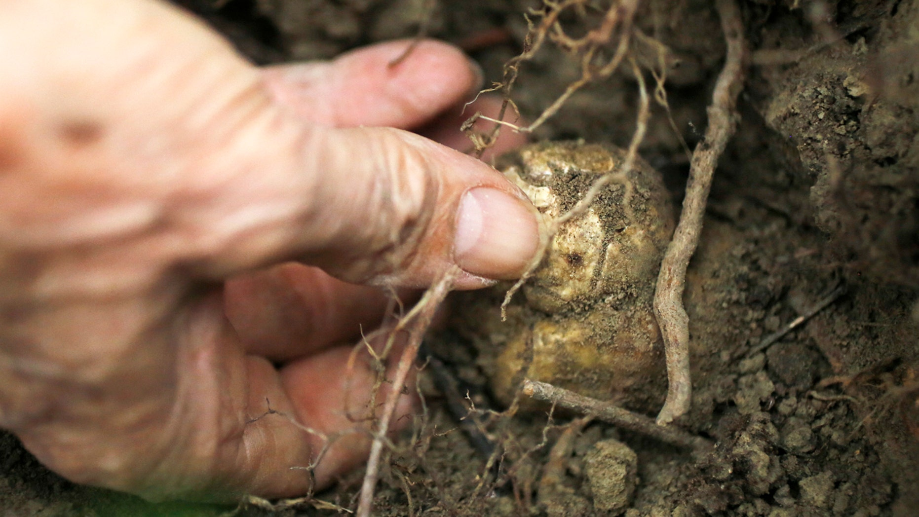 Truffle hunting near Alba in northwestern Italy. Located in the heart of the Langhe - the hilly southern area of Italy's northwestern Piedmont region - Alba is the country's capital of white truffles, a variety of the prized fungus which grows underground.