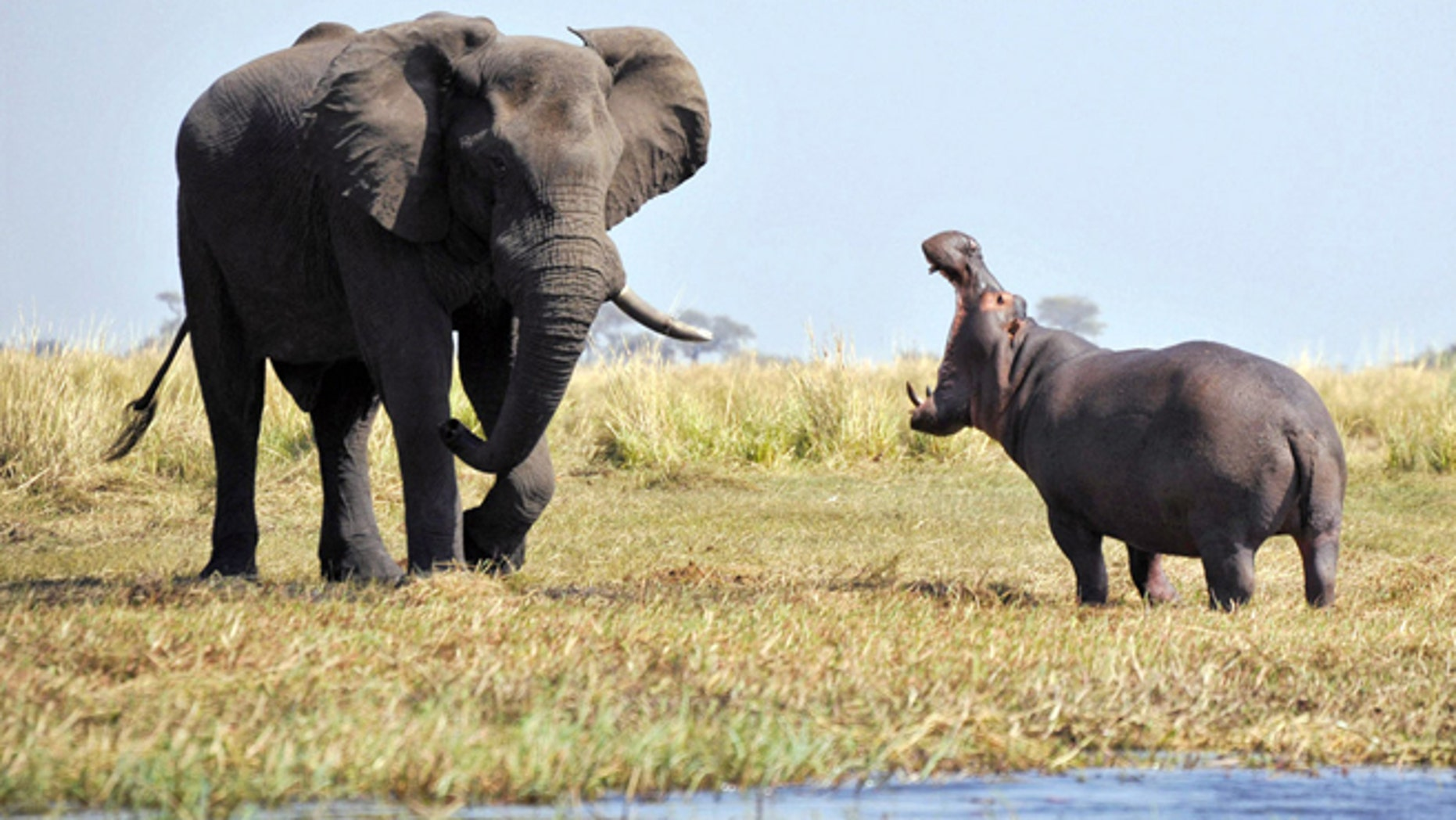 It was a battle of the giants when a hippo had a tetchy face-off with an elephant.