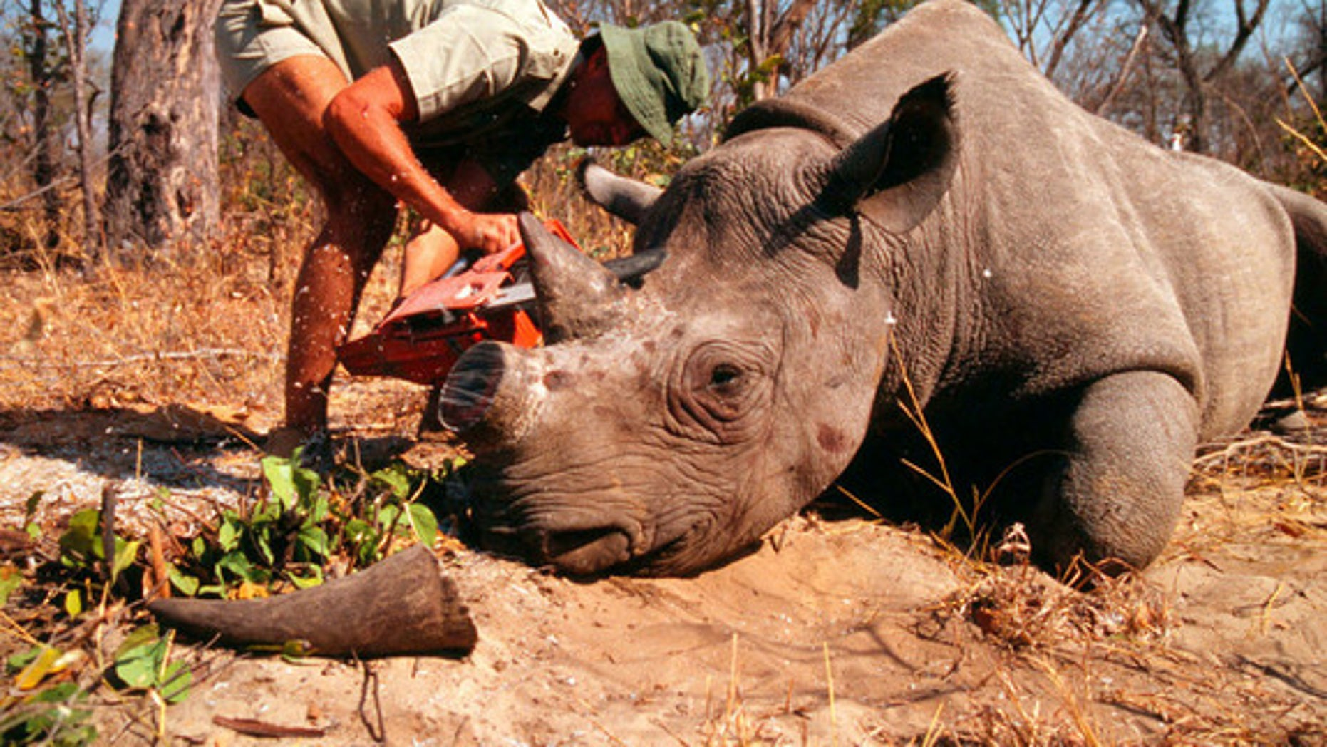 Dehorning of a rhinoceros by a field researcher