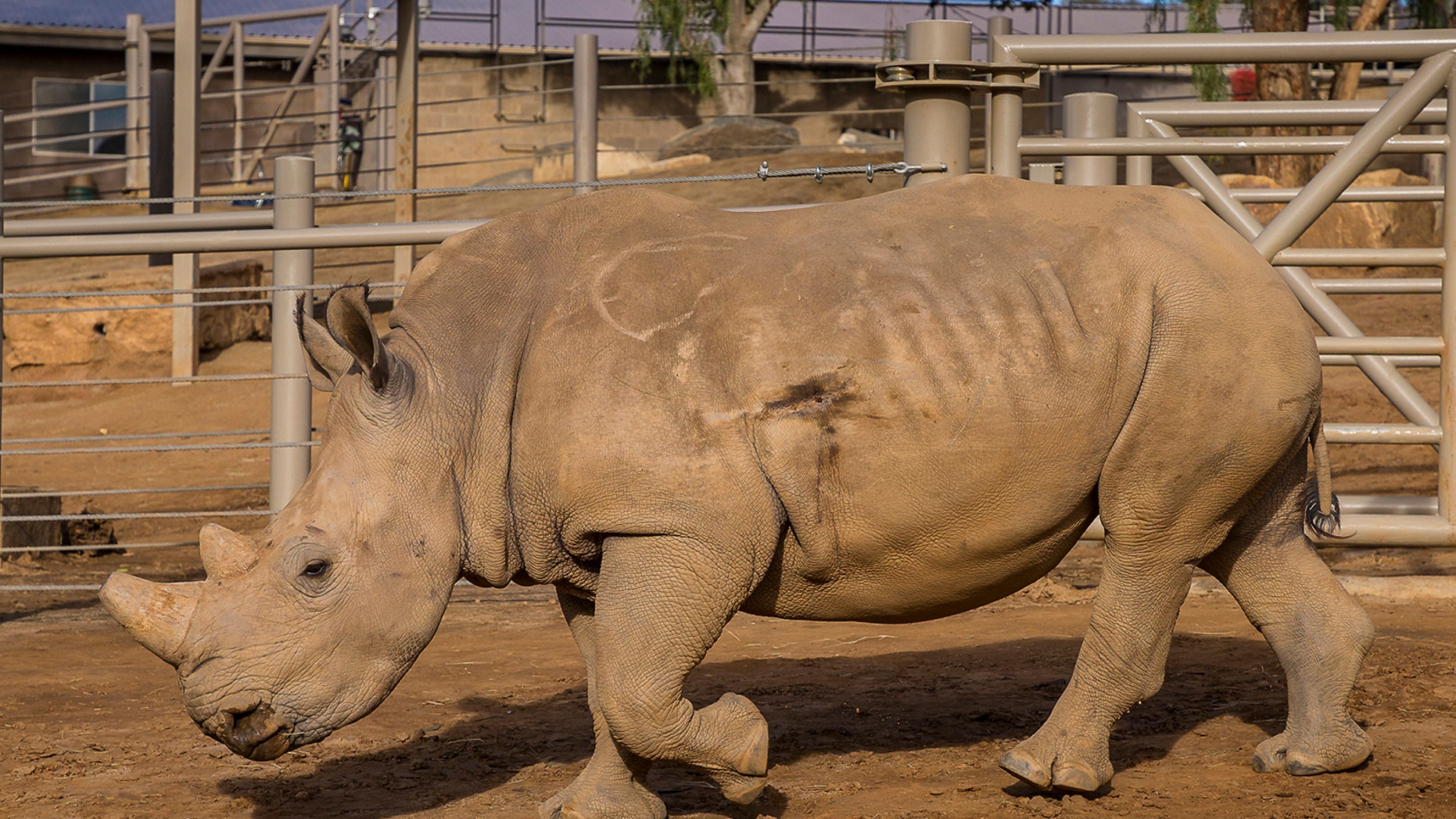 The wounded rhino.
