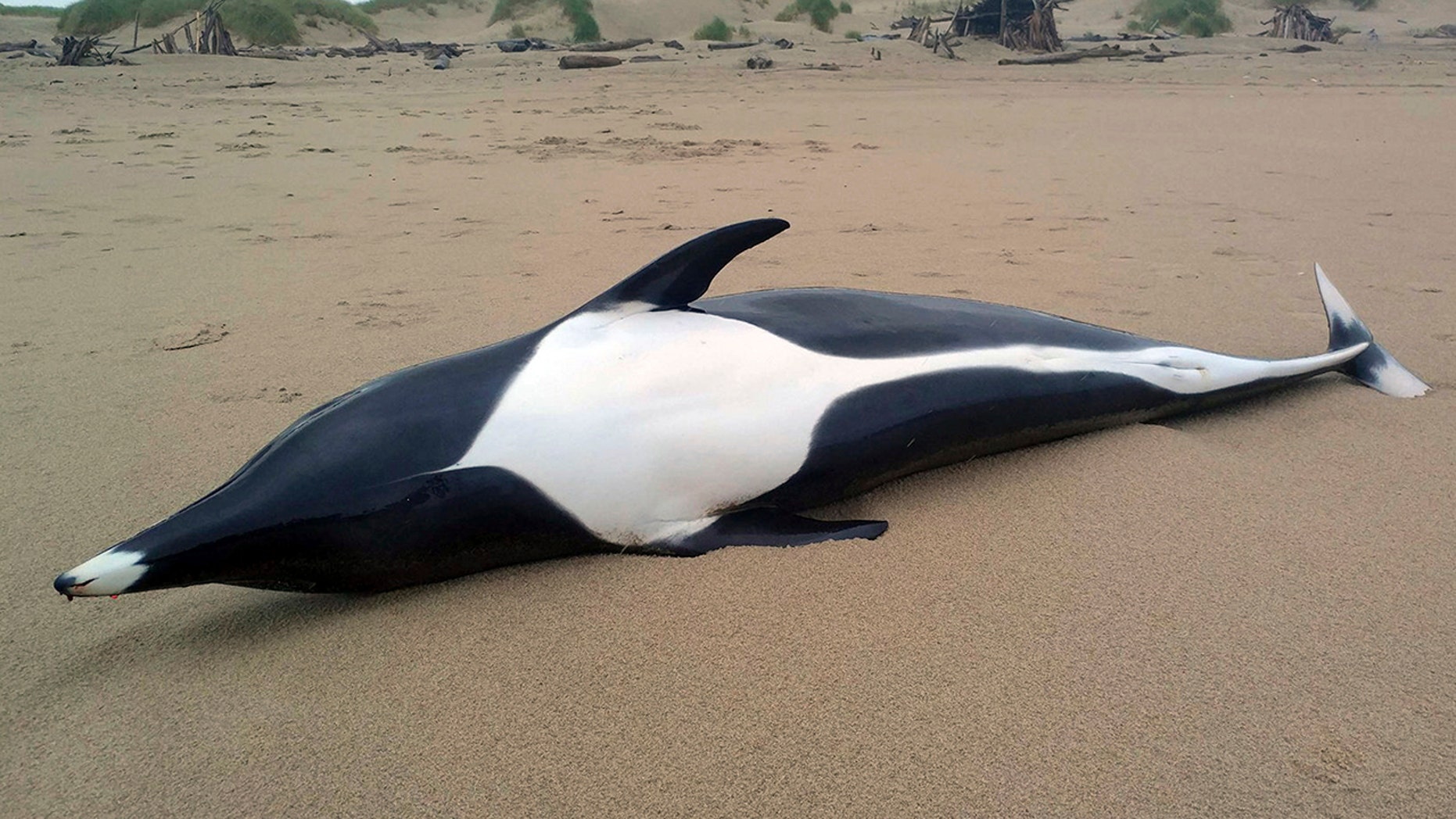 """A female northern right whale dolphin washed ashore on the beach in Manzanita, Ore., on June 9. Only four other of these """"unique"""" dolphins have been spotted by the Seaside Aquarium since 1995."""