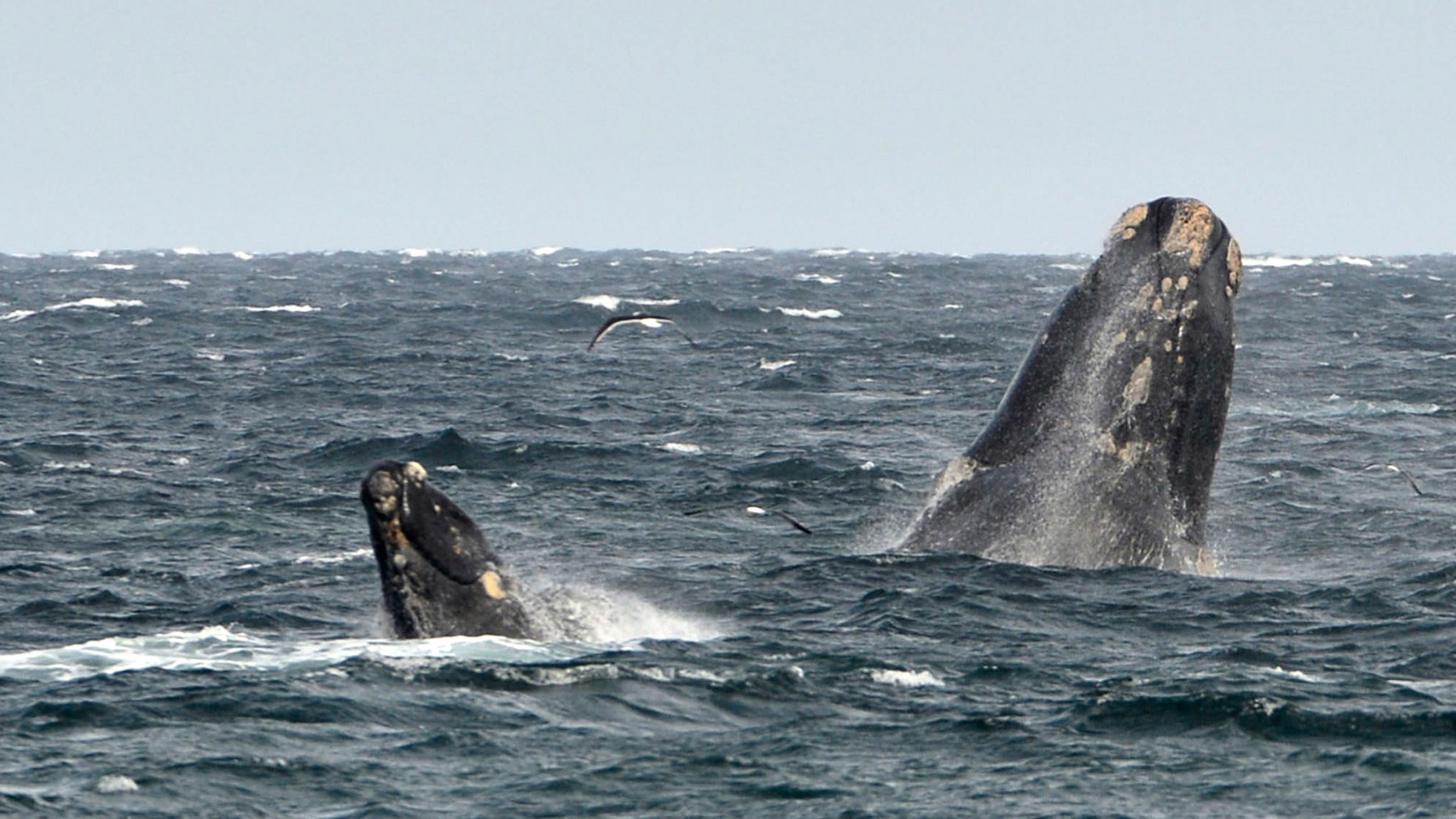 File photo: A young southern right whale (L), known in Spanish as ballena franca austral, swims in the waters of the Atlantic Sea, offshore Golfo Nuevo, next to its mother in Argentina's Patagonian village of Puerto Piramides, September 19, 2014. (REUTERS/Maxi Jonas)