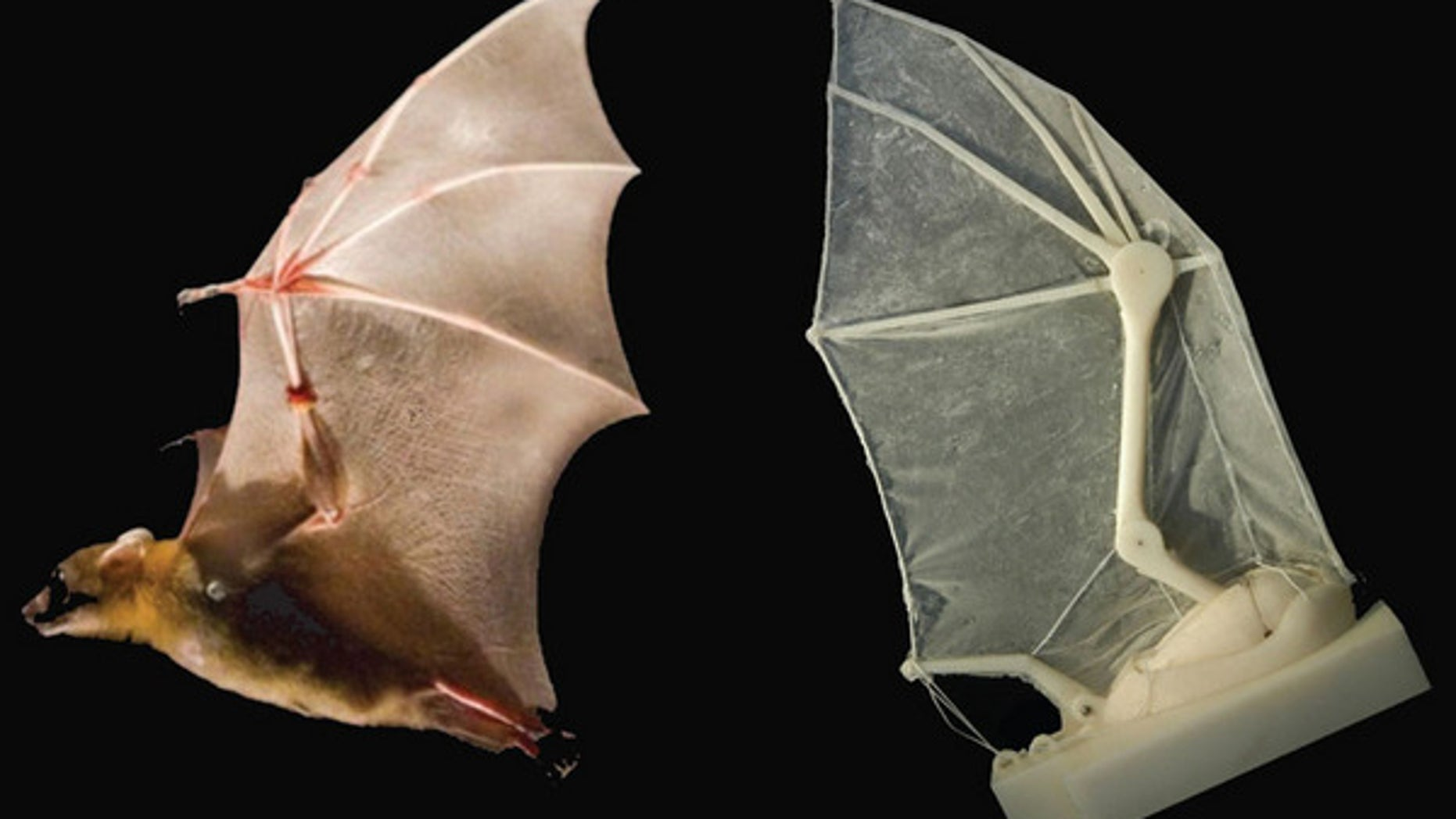 By building a robotic bat wing, scientists have uncovered flight secrets of real bats: the function of ligaments, the elasticity of skin, the structural support of musculature, skeletal flexibility, upstroke, downstroke.