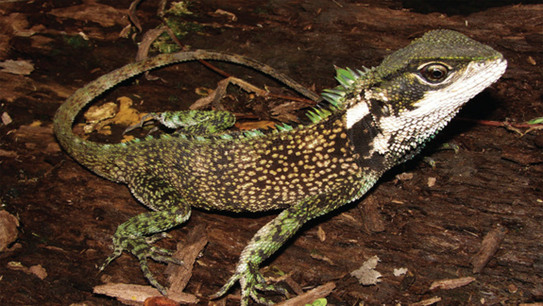 Enyalioides sophiarothschildae, one of three new woodlizard species discovered in the Andes.