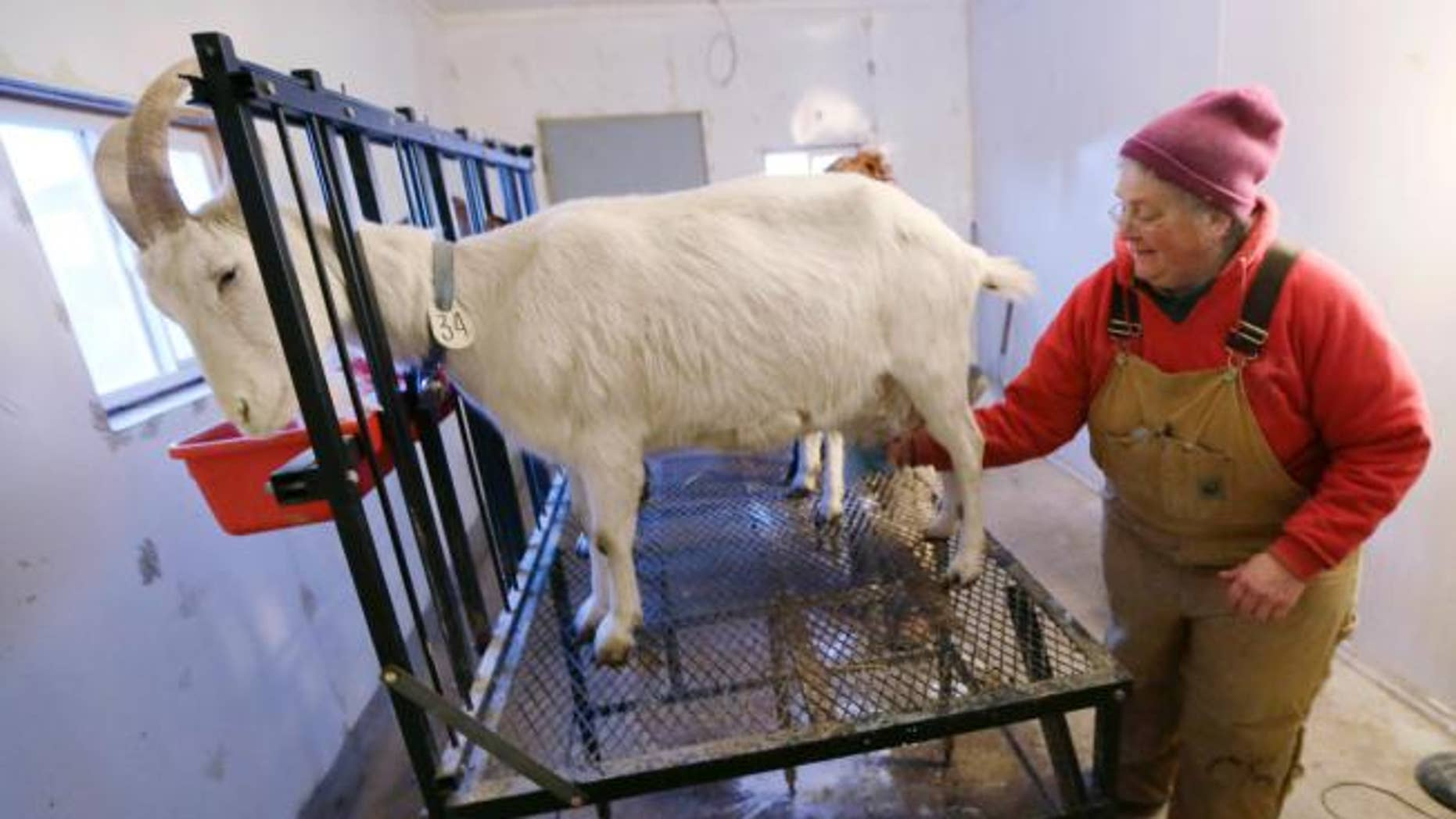 Paula Olson prepares a goat for milking on her farm near Madrid, Iowa.